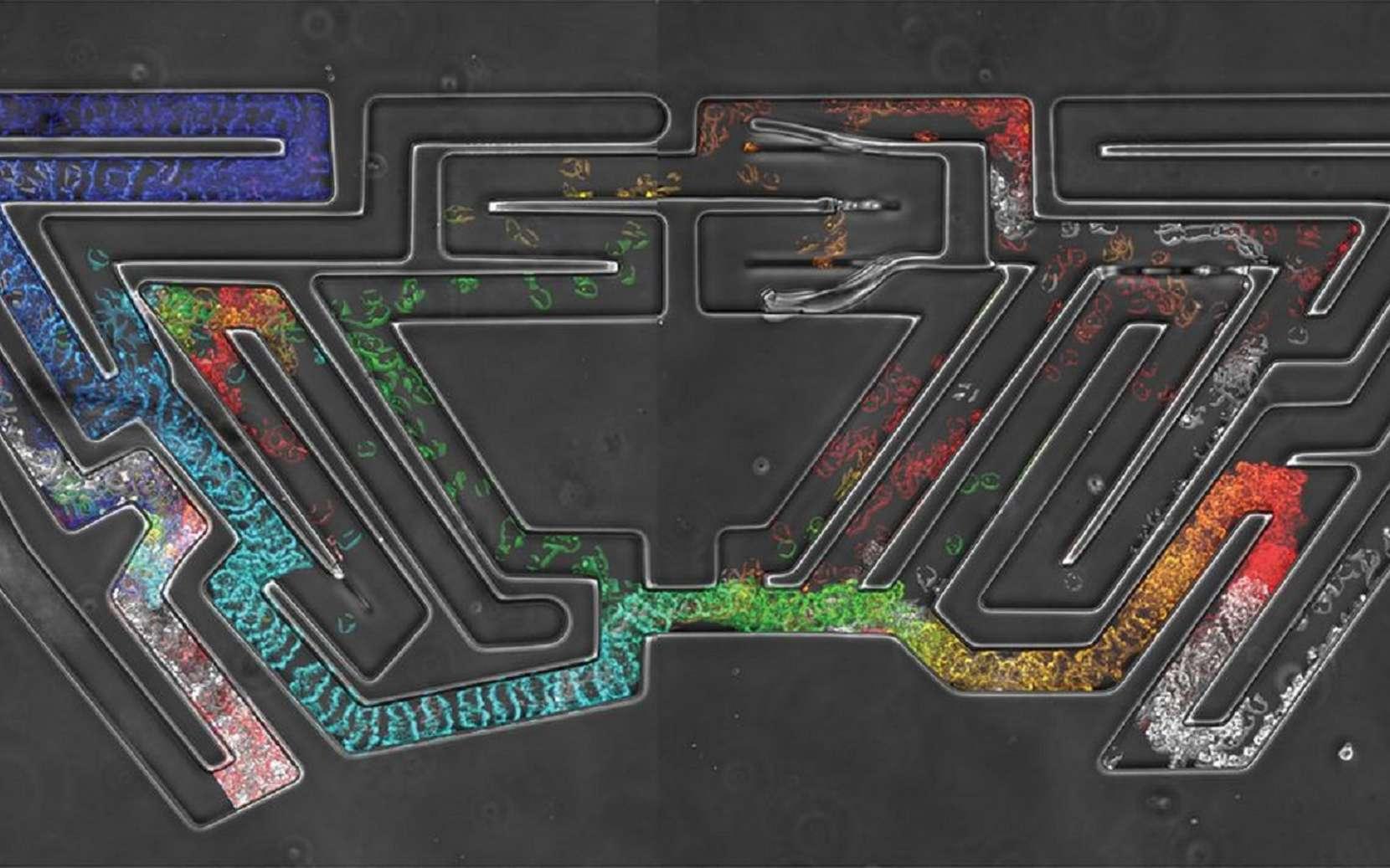 Cellules voyageant dans une version microscopique du labyrinthe de Hampton Court. Le temps est représenté par un gradient de couleurs allant du bleu (premiers instants) au rouge (derniers instants). © Cancer Research UK, Luke Tweedy, Michele Zagnoni