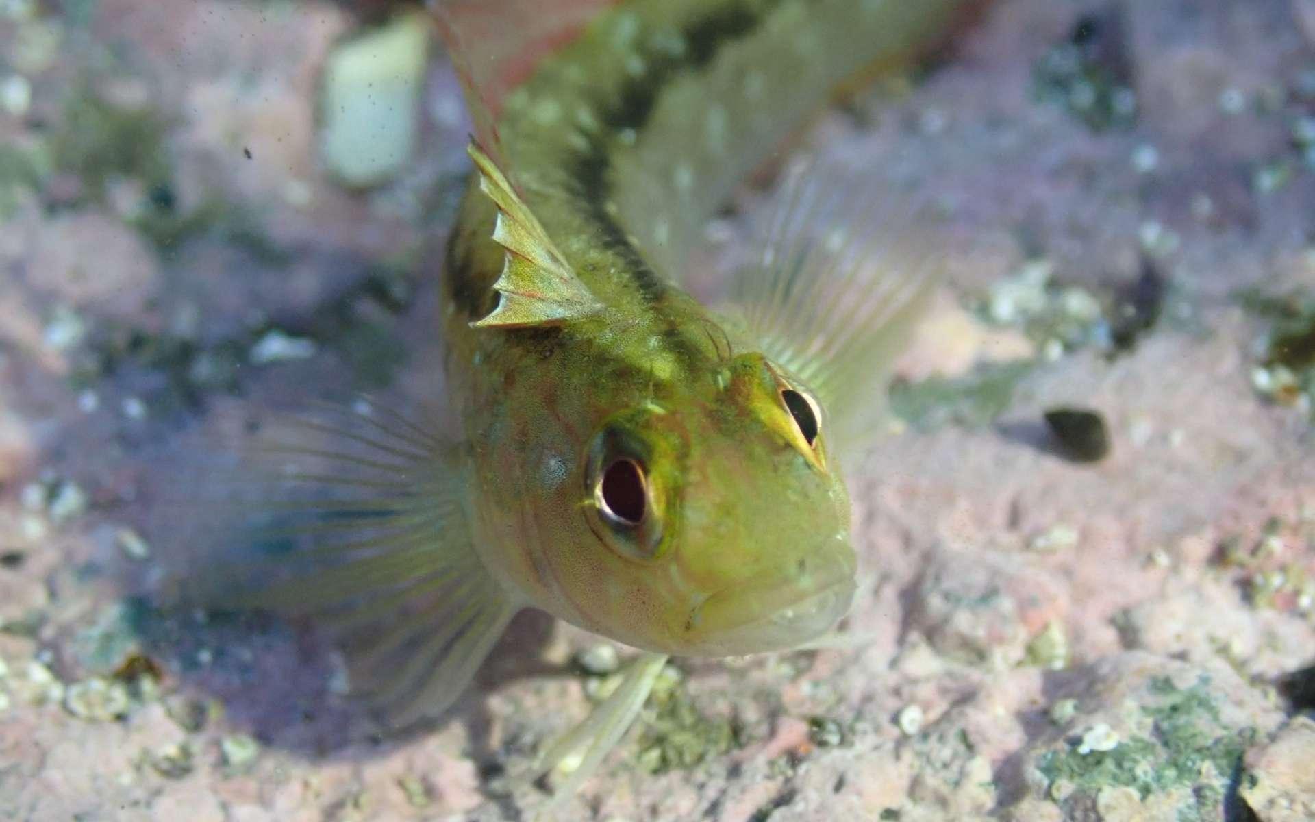 Le réchauffement climatique fait grossir les testicules des poissons - Futura