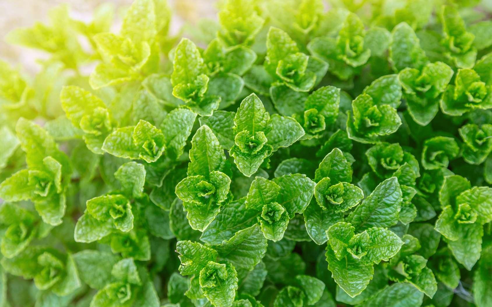 La menthe est une herbe aromatique très facile à cultiver en pot ou en pleine terre. © Robert Leßmann, Fotolia