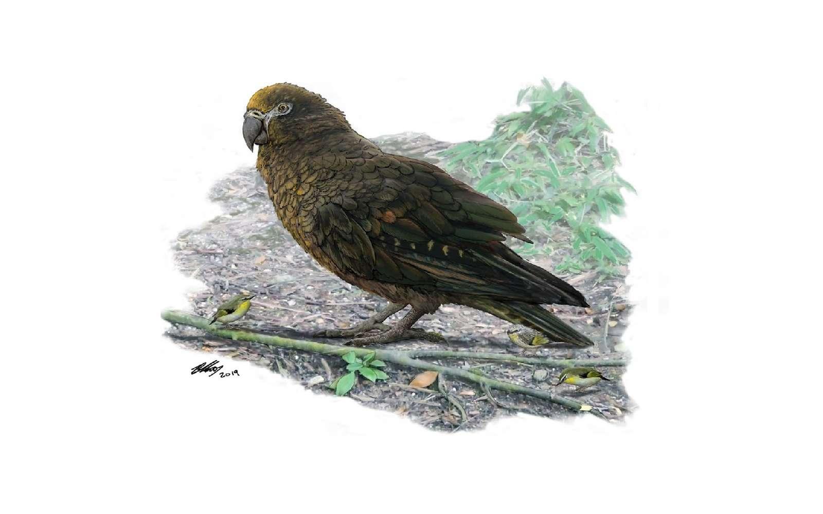 Une reconstitution du perroquet géant qui vivait en Nouvelle-Zélande il y a quelque 19 millions d'années. © Brian Choo, Flinders University