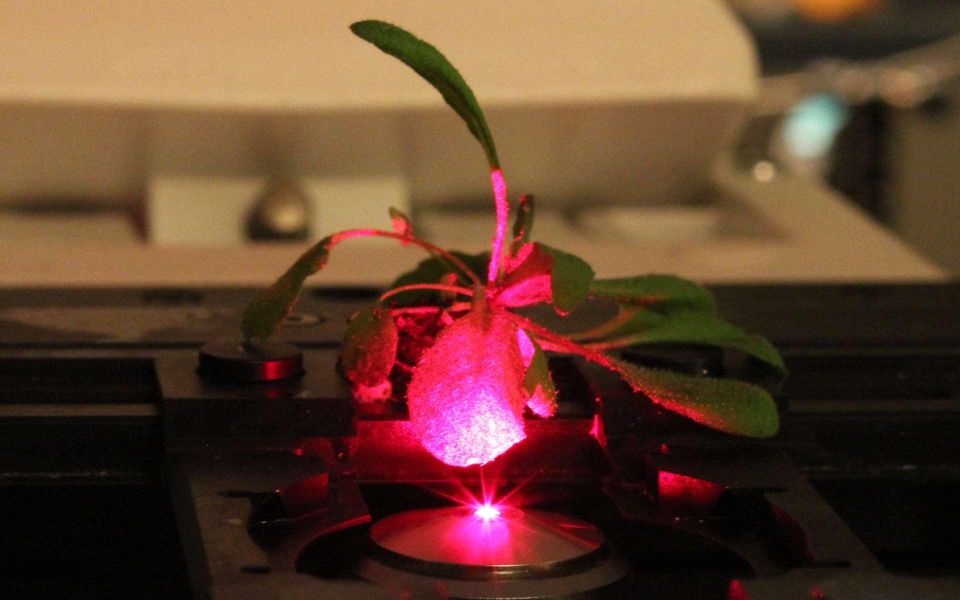 Il est possible, grâce aux nanomatériaux, d'améliorer l'absorption d'énergie lumineuse chez la plante Arabidopsis thaliana. © Juan Pablo Giraldo