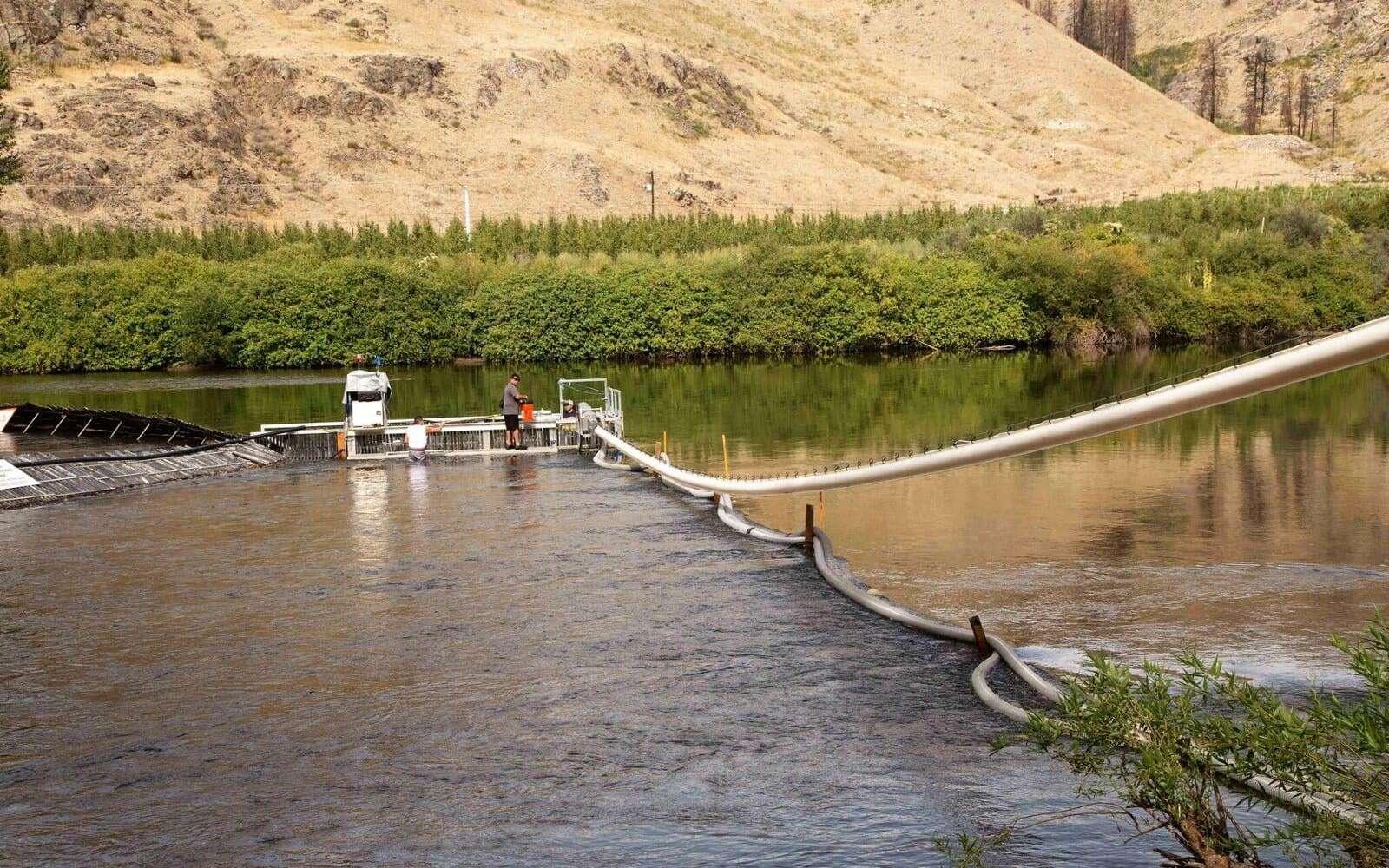 Ce canon à saumon aspire les poissons pour les transporter en aval dans la rivière. © Whooshh Innovations