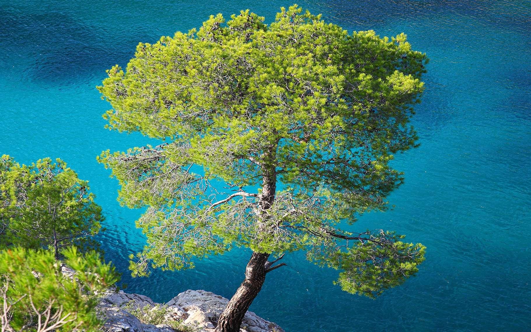 Pinus halepensis. © Xavier Varela, Flickr CC by nc-sa 2.0