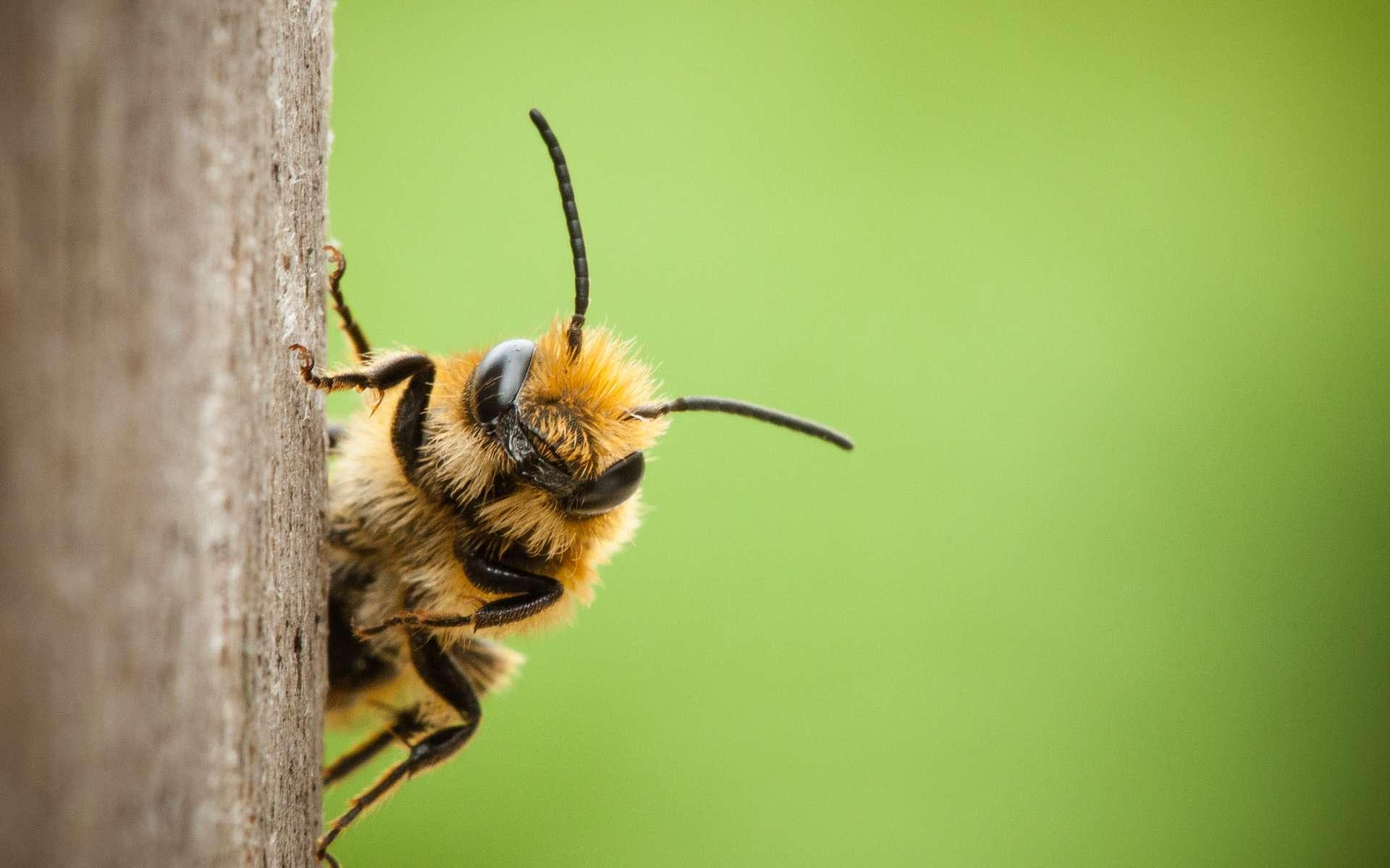 Aux États-unis, l'utilisation des néonicotinoïdes aurait significativement augmenté la toxicité des insecticides sur les abeilles domestiques. © Joost, Adobe Stock