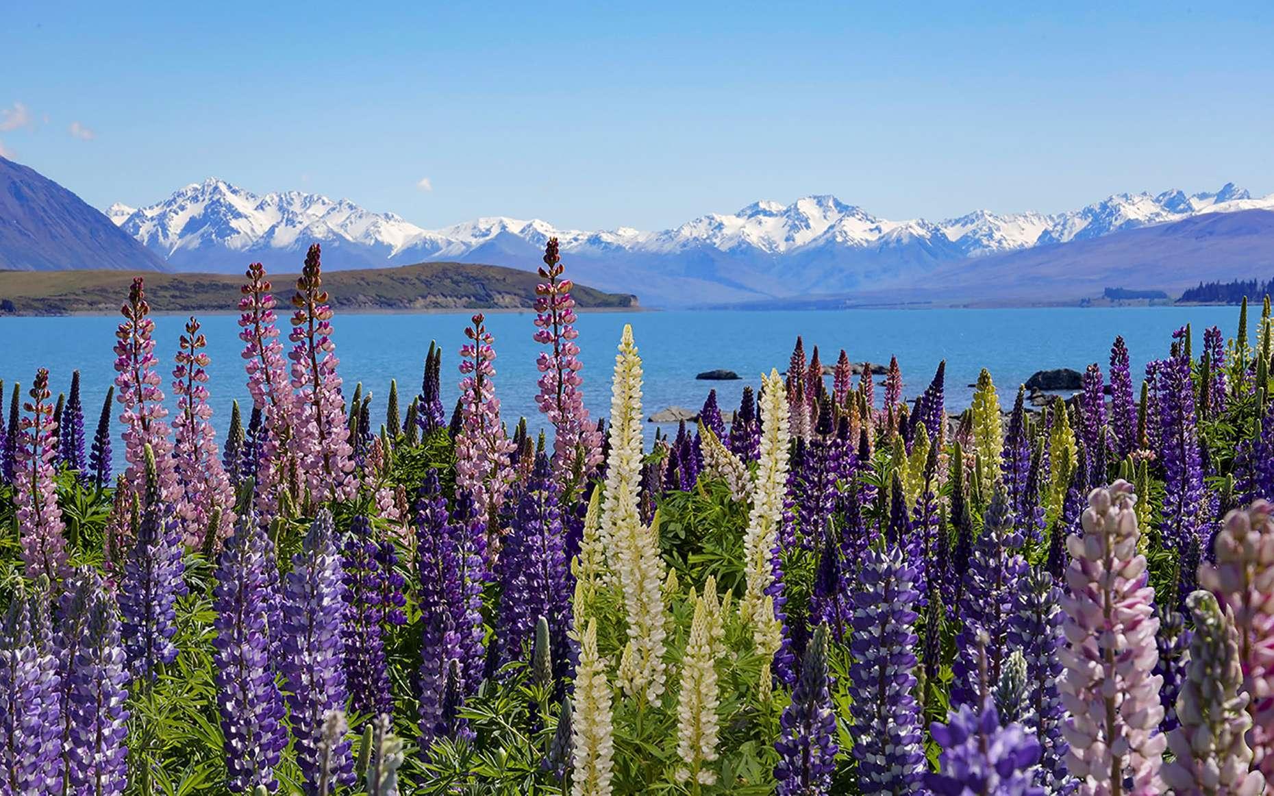 Au « pays du grand nuage blanc », des massifs de lupins envahissent les bords du lac Tekapo. © Antoine, tous droits réservés