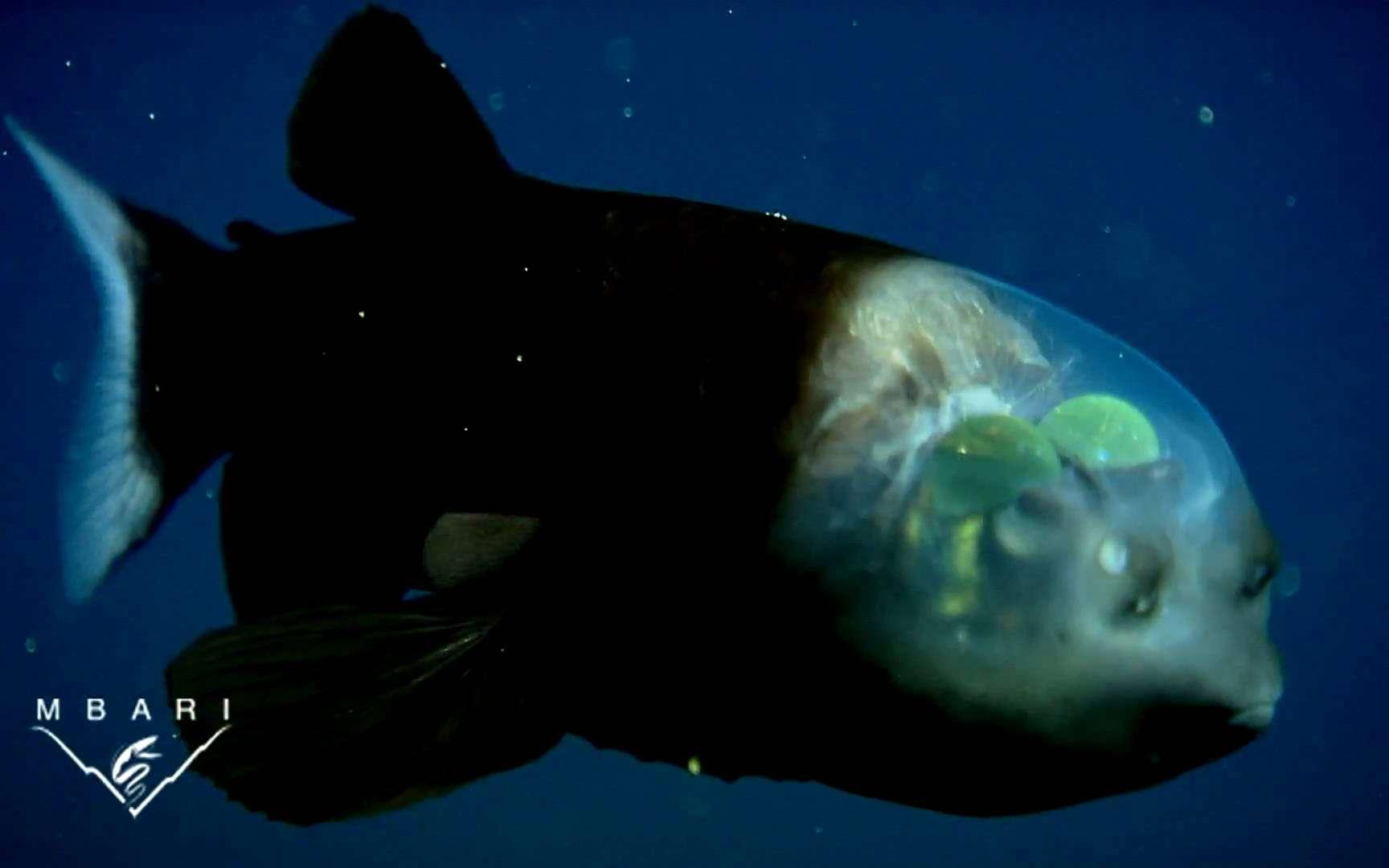 Le crâne transparent et les yeux internes de cet étrange poisson équipent-ils également ses cousins des abysses ? © MBARI