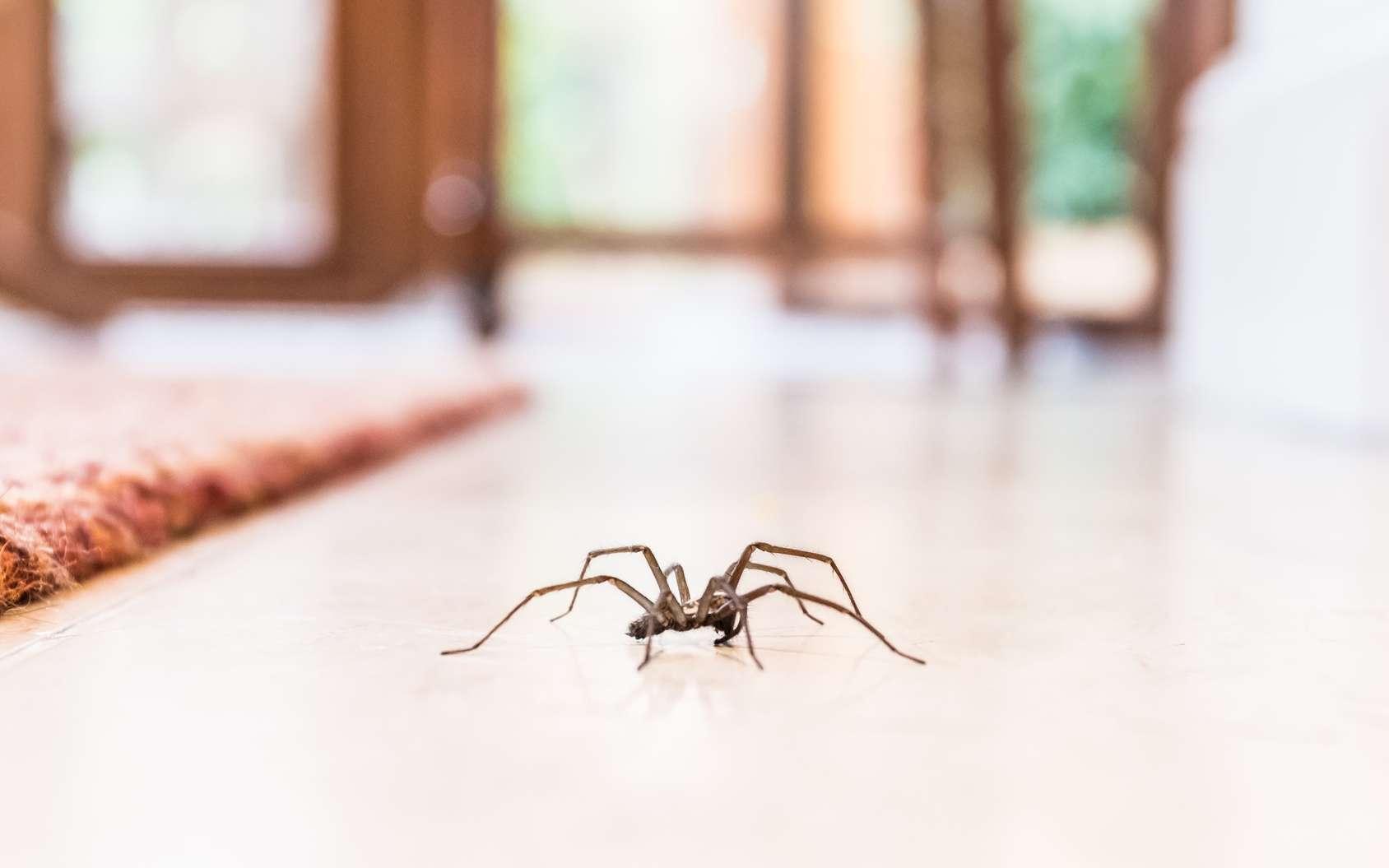 Les araignées de maison nous aident à éliminer naturellement toutes sortes d'insectes indésirables. Il ne faut donc pas les tuer ! © cbckchristine, fotolia