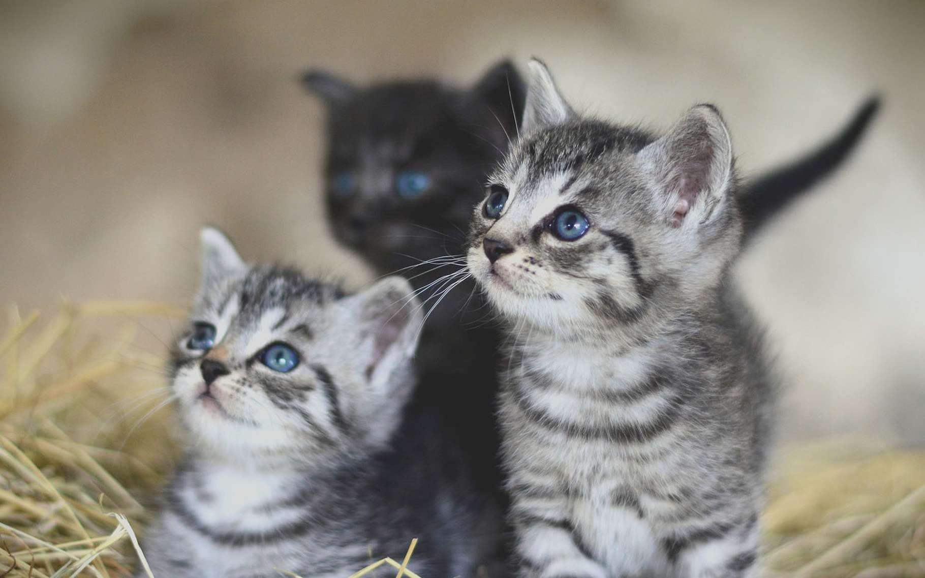 Adorables chatons. © Congerdesign, Pixabay, DP