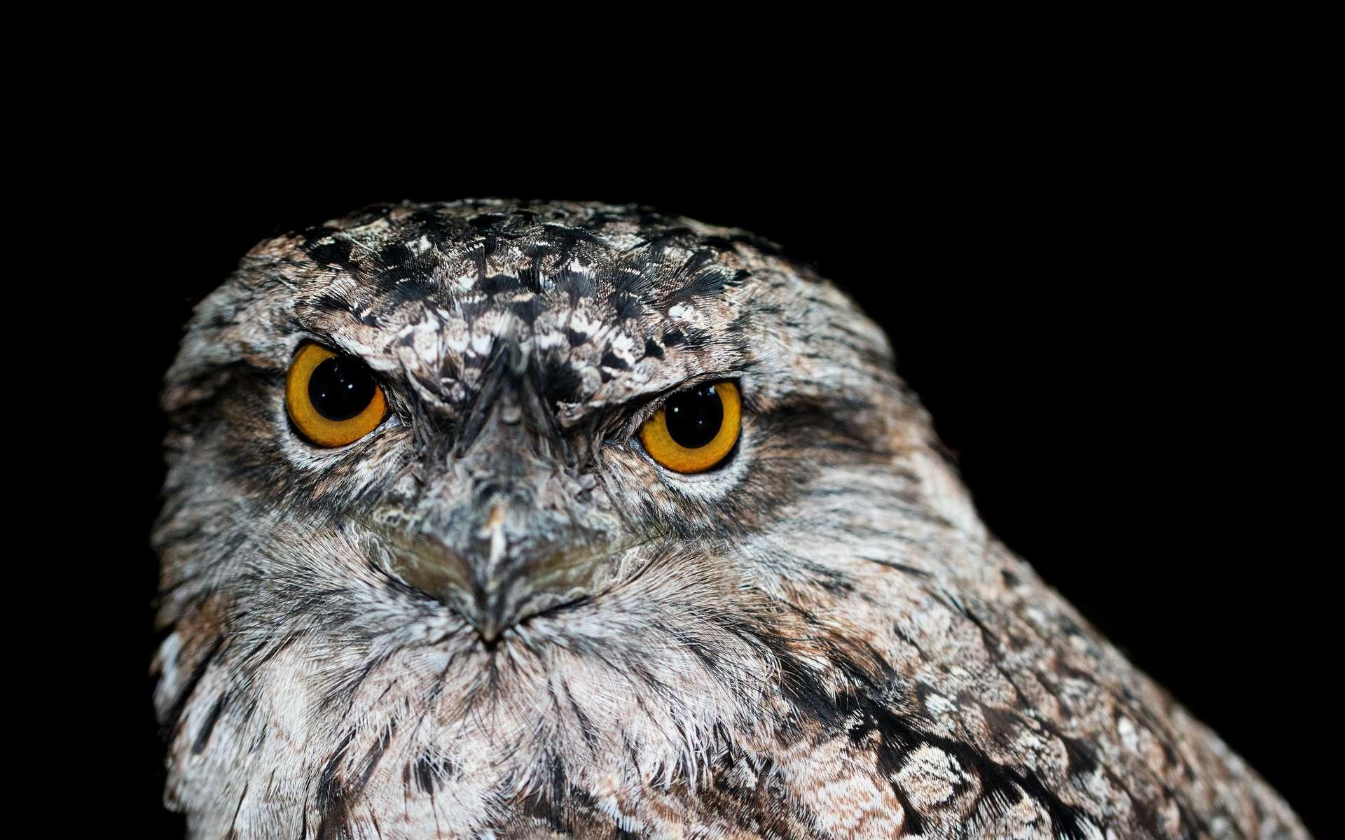 La podarge est l'oiseau le plus photogénique sur Instagram. © David Clode, Unsplash