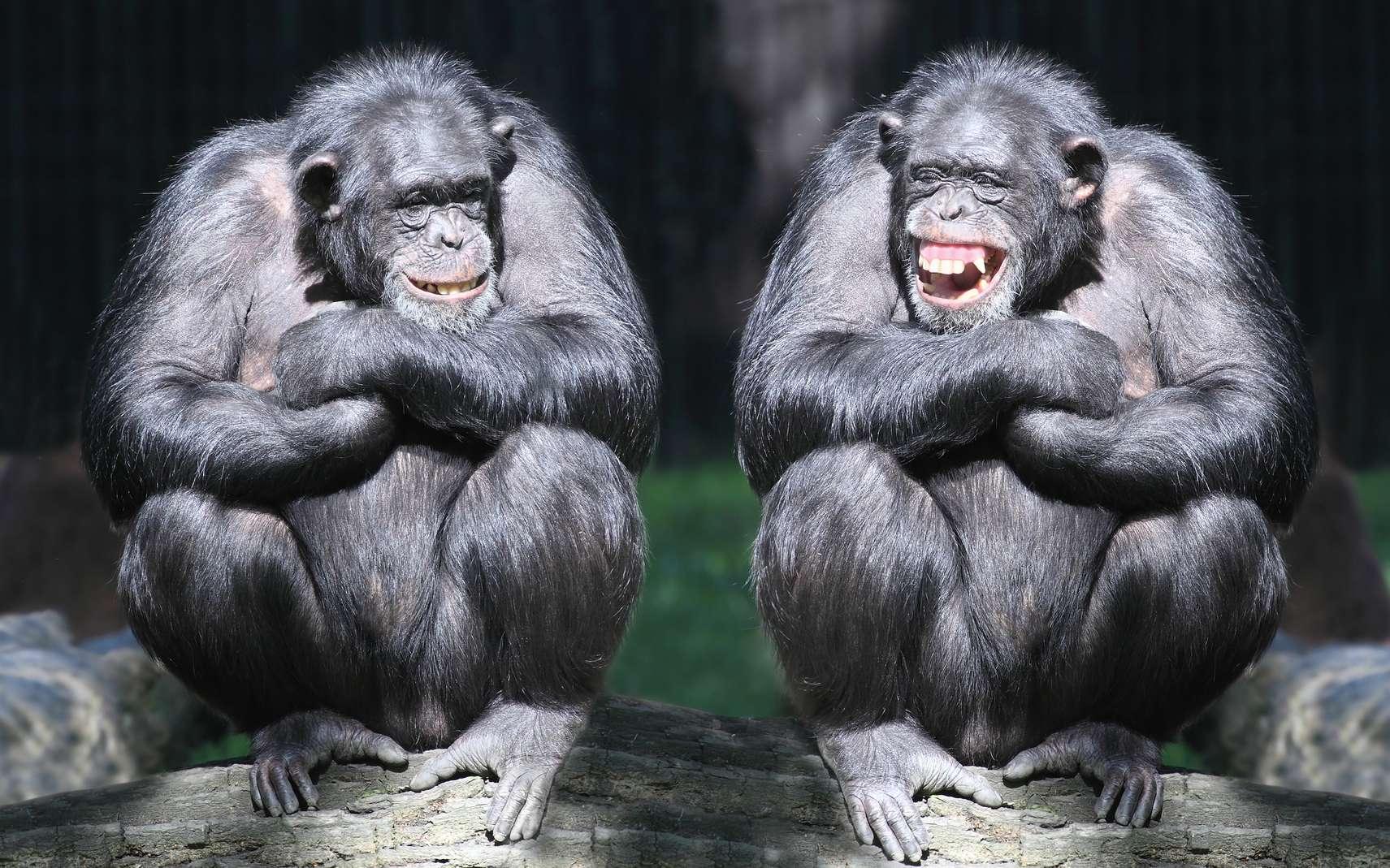 Les chimpanzés montrent des dispositions variées dans de nombreuses tâches intellectuelles. © Kletr, Fotolia