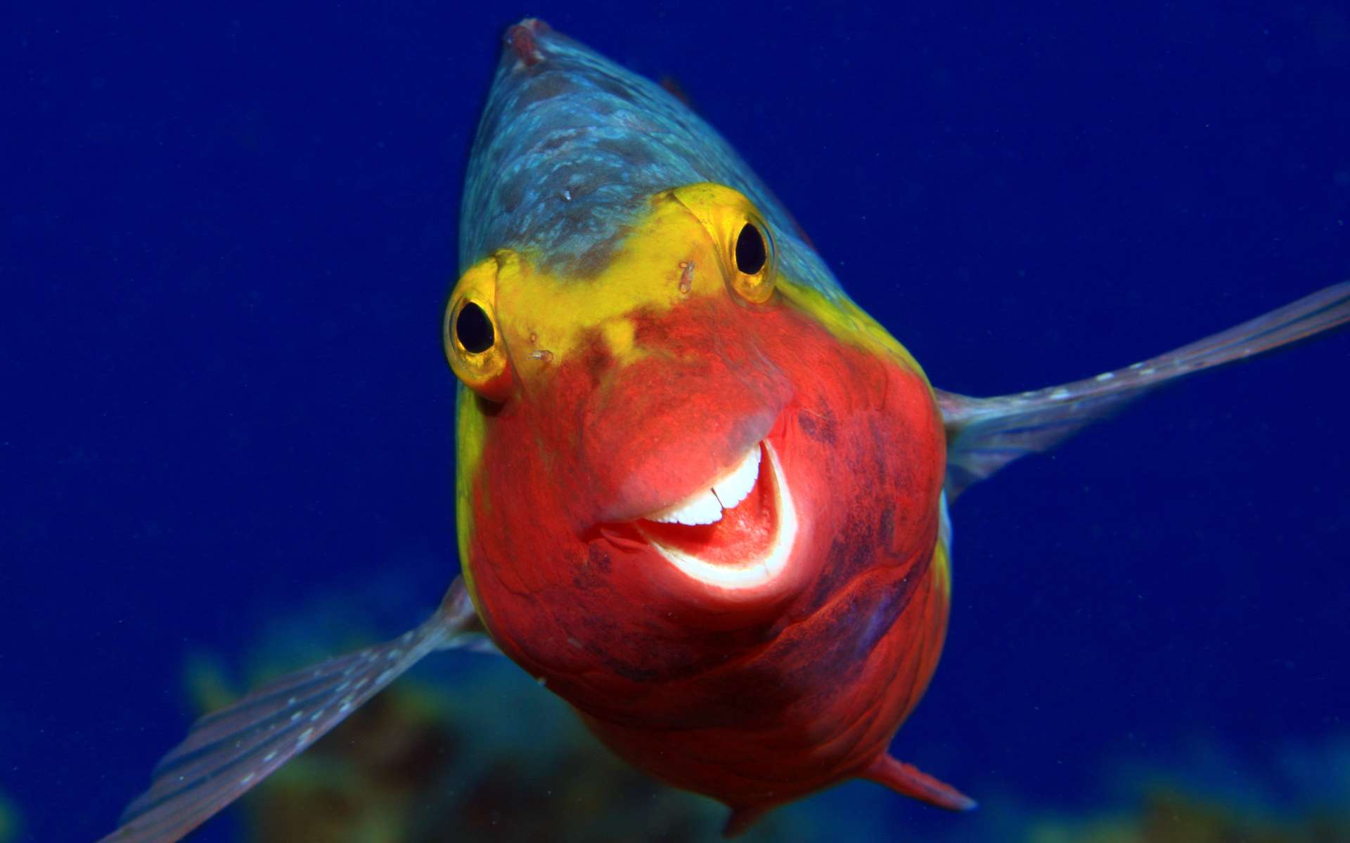 Smiley, photo sélectionnée au Comedy Wildlife Photography Awards 2020 : le sourire du poisson-perroquet. © Arthur Telle Thiemenn, Comedy Wildlife Photography Awards 2020