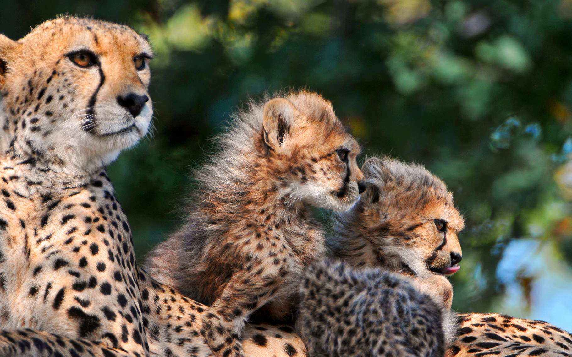 Famille de guépards. © Tambako The Jaguar, Flickr, CC by-nc 2.0