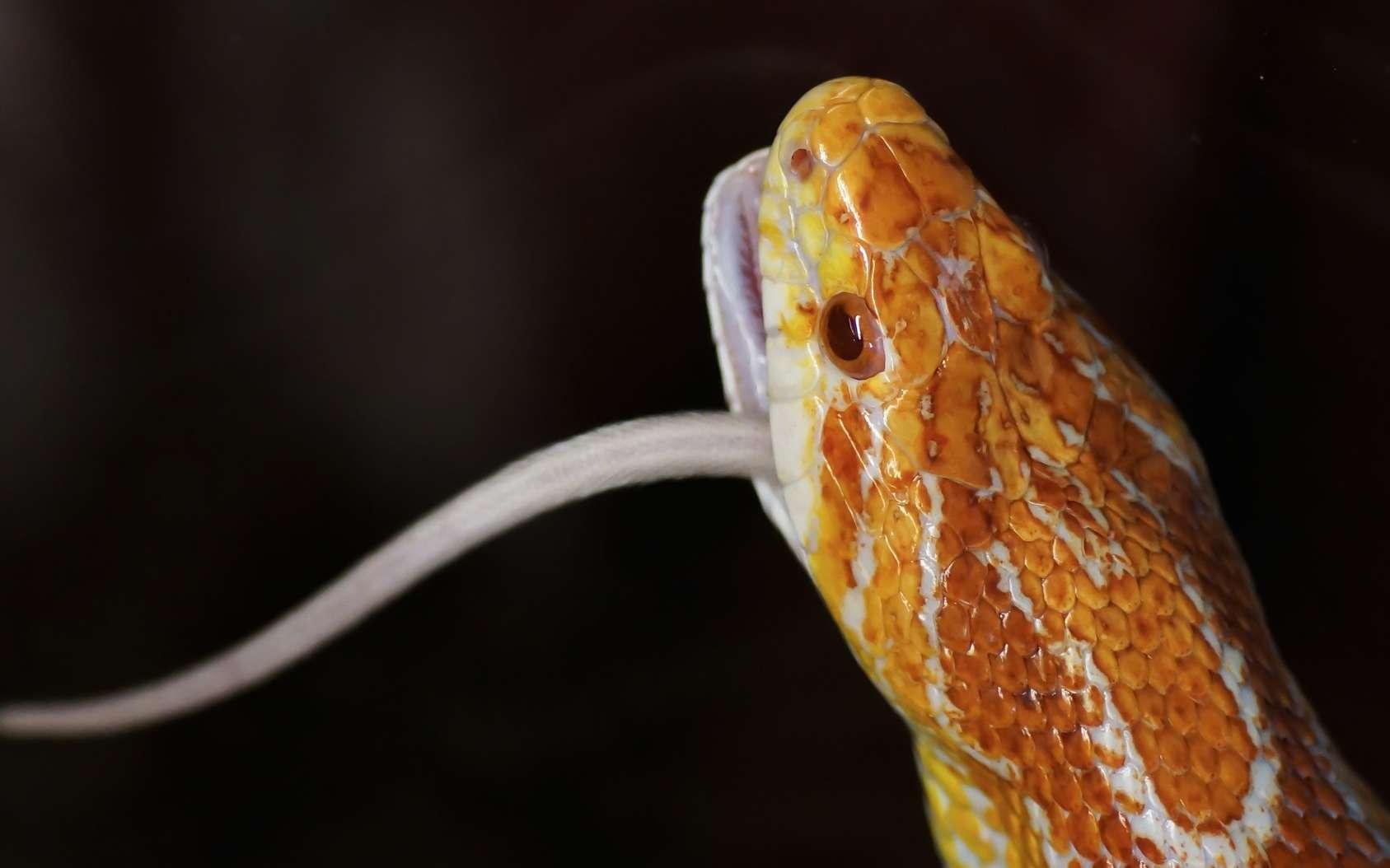 Les serpents avalent des rongeurs qui parfois portent des graines. Que deviennent les graines ? © allegra47, Fotolia
