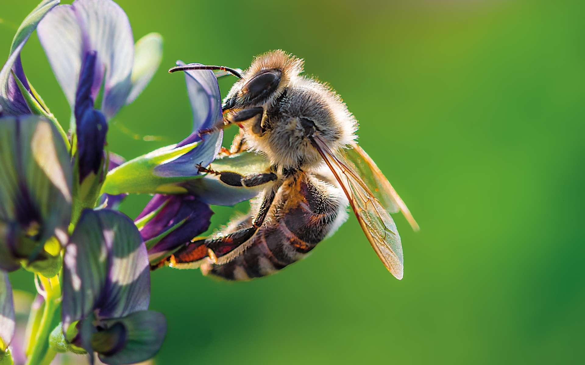 Il existe environ 20.000 espèces d'abeilles répertoriées. Un chiffre comprenant les bourdons. © Martin, Adobe Stock
