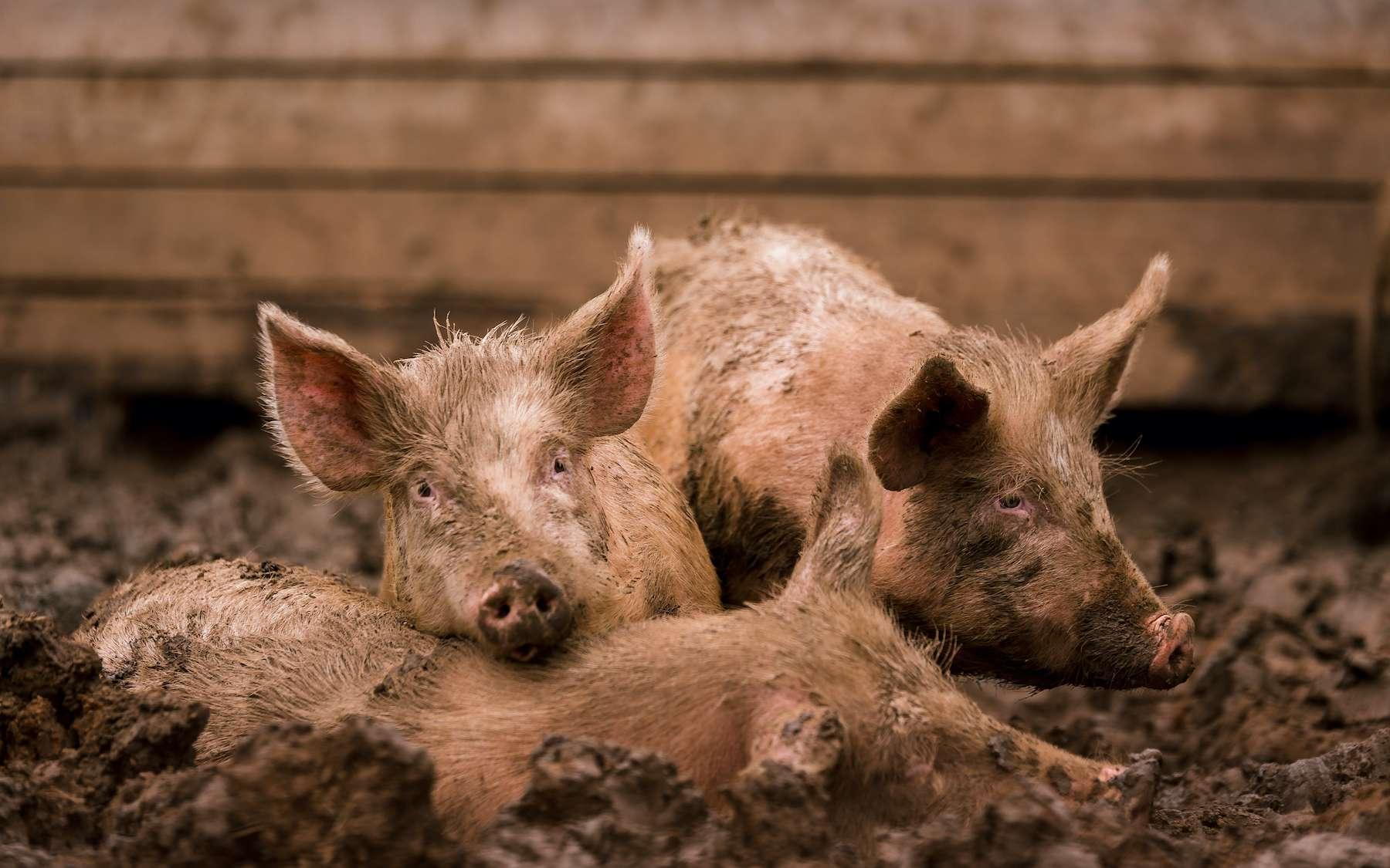 Le SADS-CoV est un coronavirus du porc très virulent. © mantisphoto, Adobe Stock