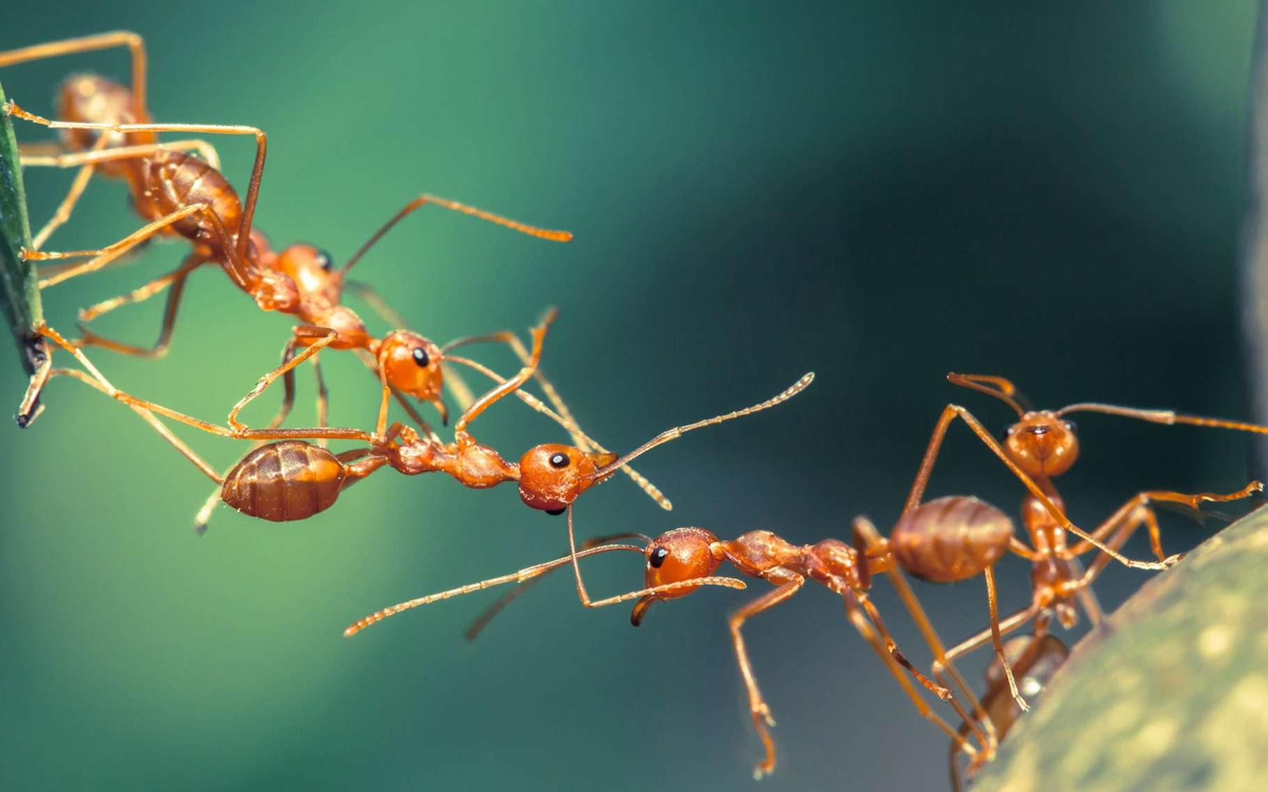 Des chercheurs se sont inspirés des ponts de fourmis pour imaginer un système de nanoparticules autoassemblables capables de réparer des circuits électriques. © lirtlon, Fotolia