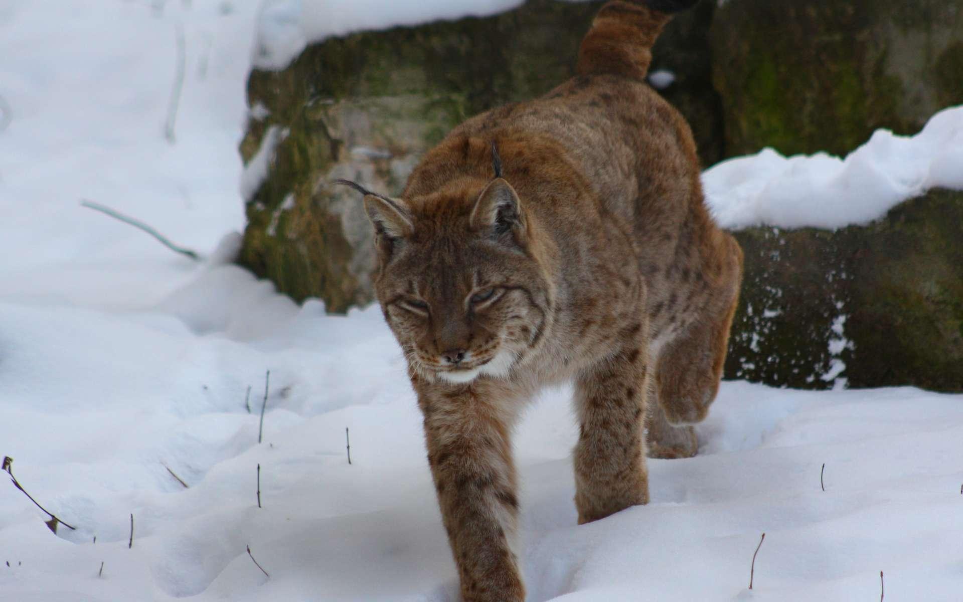 Lynx européen. © Patrick Straub