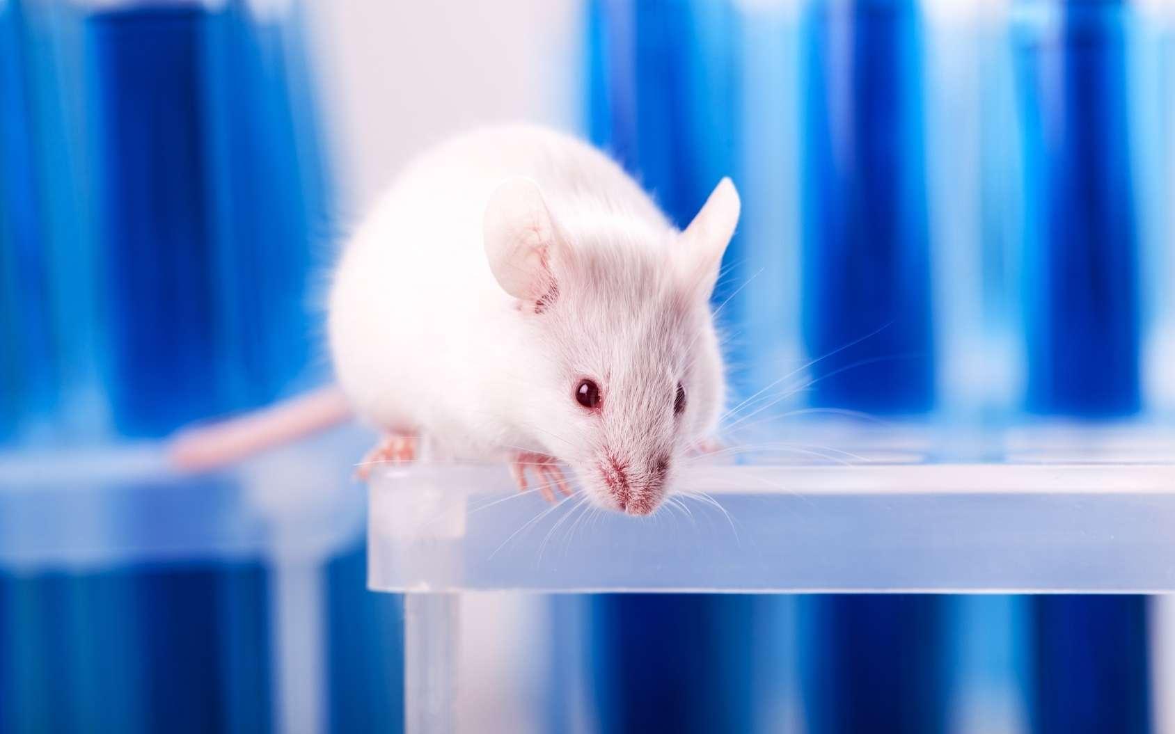 Des chercheurs ont créé un modèle pour étudier la méditation de pleine conscience chez la souris. © BillionPhotos.com, Fotolia