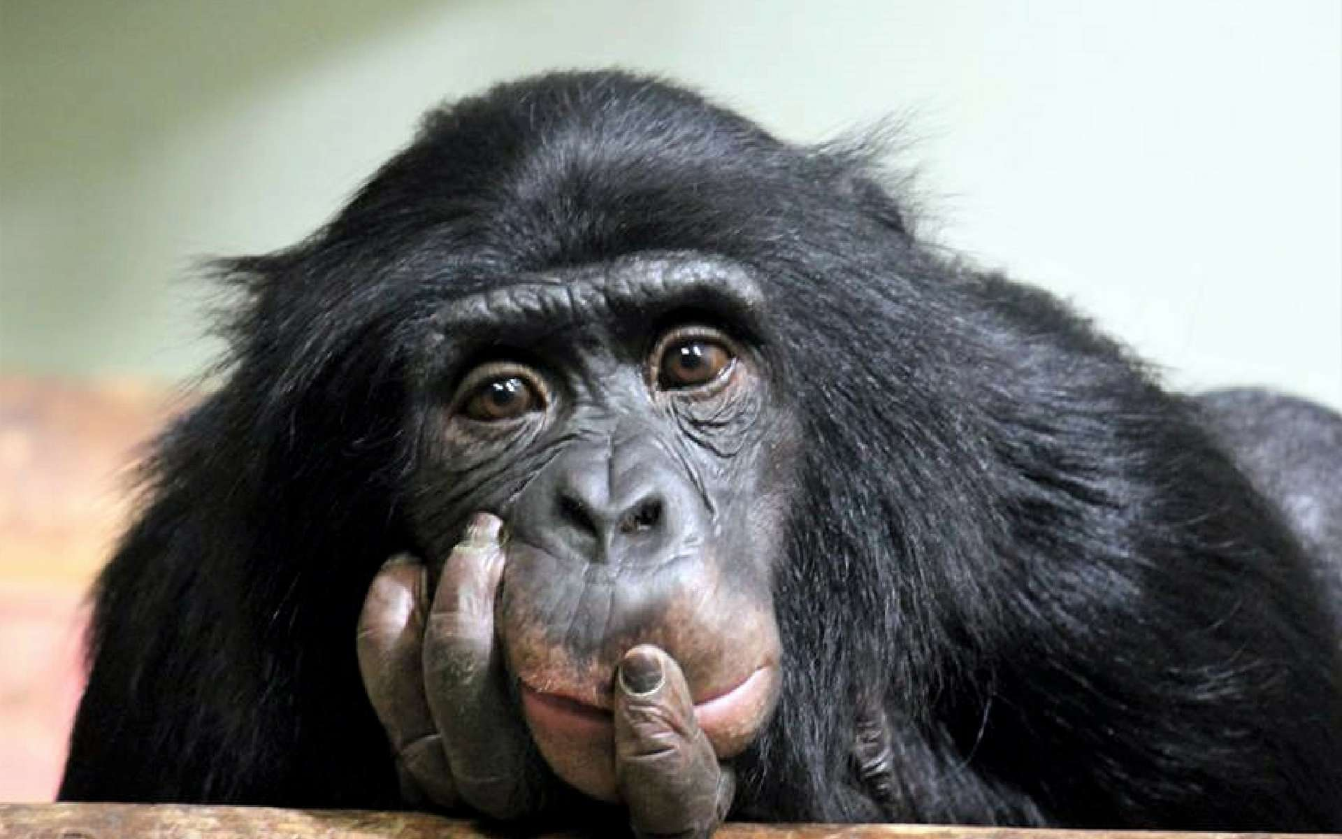 Dans la classification scientifique, le chimpanzé est dénommé Pan troglodytes. © cheekylorns, Adobe Stock