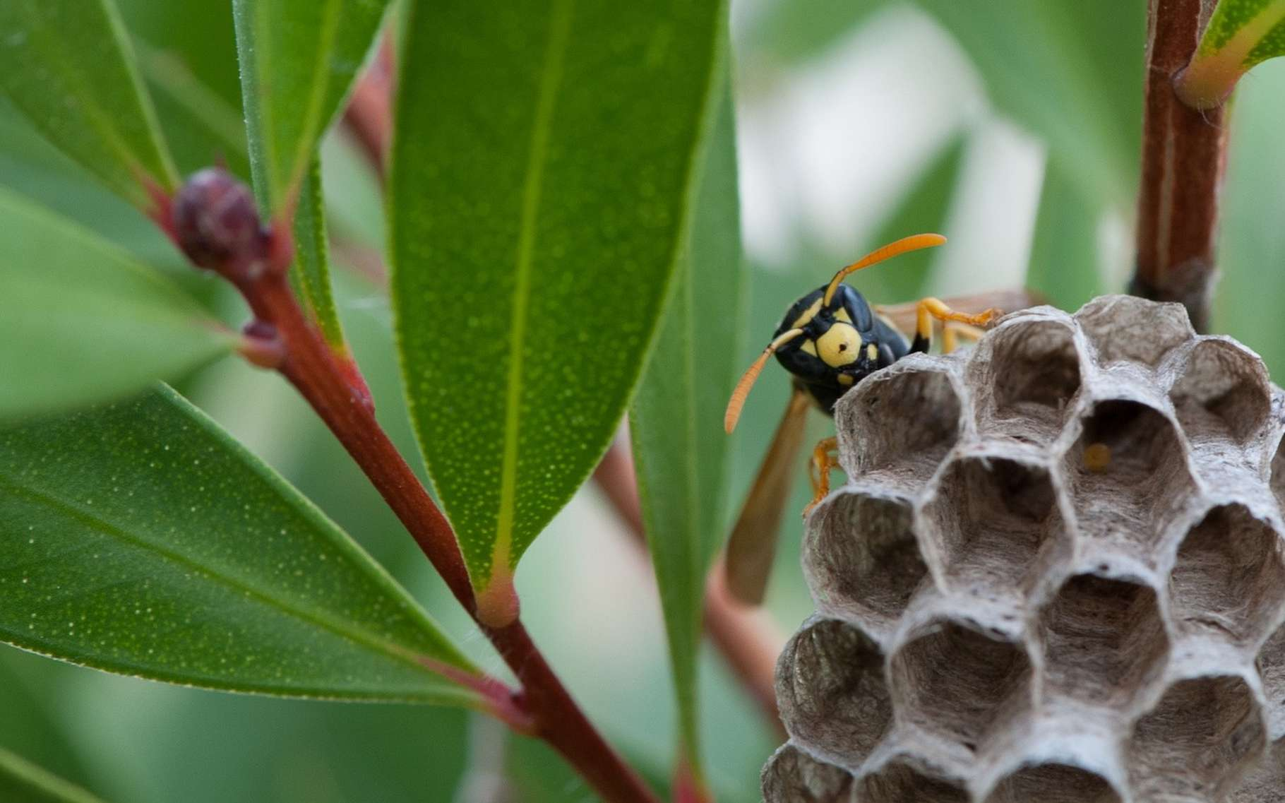 Les nids de guêpes sont tout simplement faits de papier mâché. © oreana3, Pixabay License