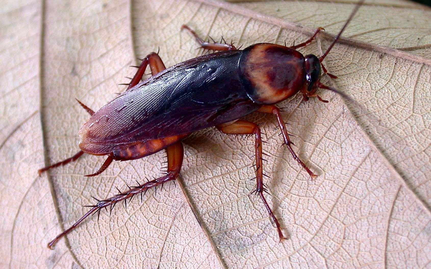 La blatte américaine (Periplaneta americana) mesure jusqu'à quatre centimètres de long. © Len Worthington, Flickr