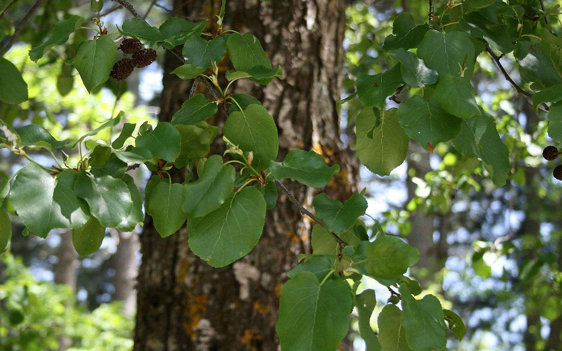 Fruits de l'aulne à feuilles en cœur. © MPF Licence de documentation libre GNU, version 1.2