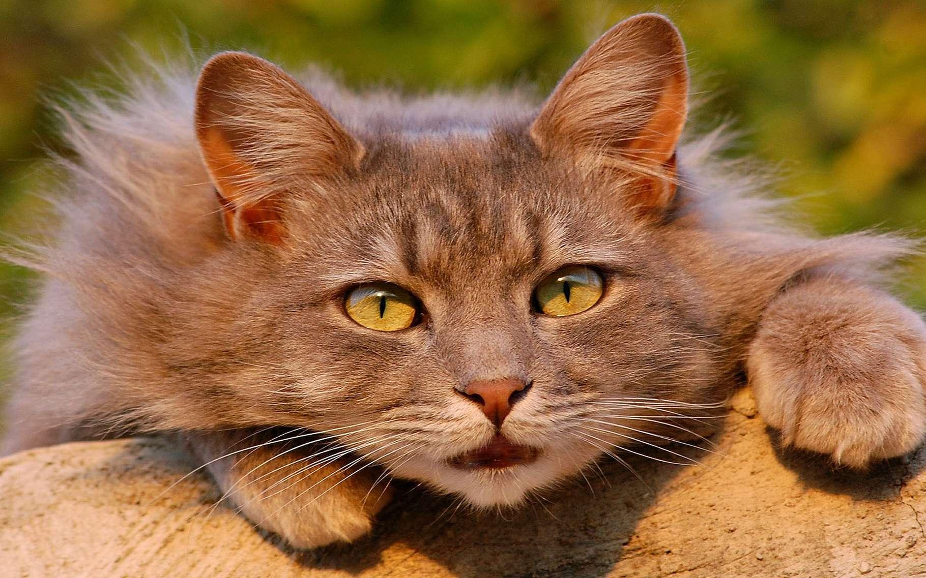 Notre chat domestique à lorigine de la civilisation | Dossier