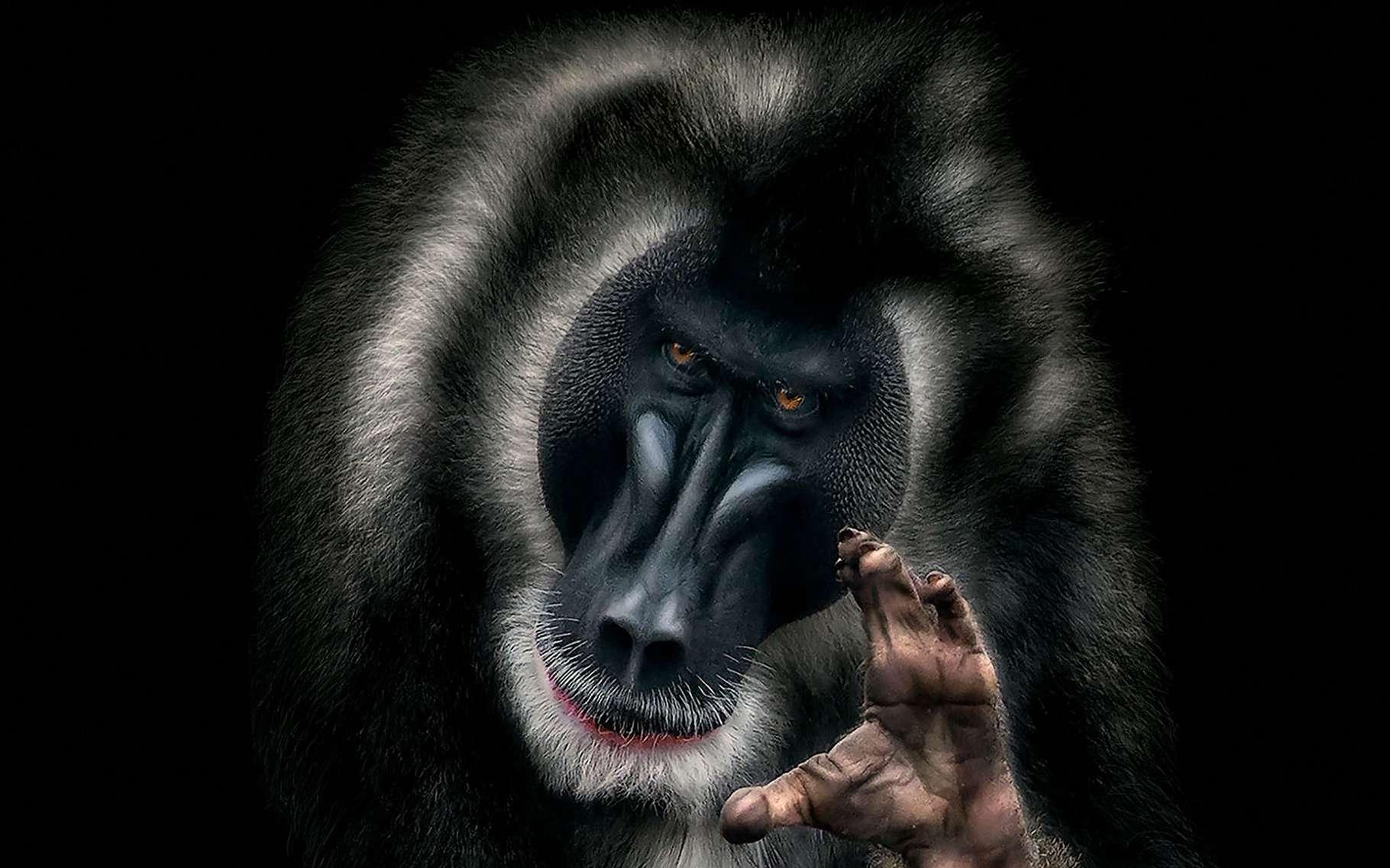 Un mandrill au regard humain pour sensibiliser à la déforestation. © Pedro Jarque Krebs