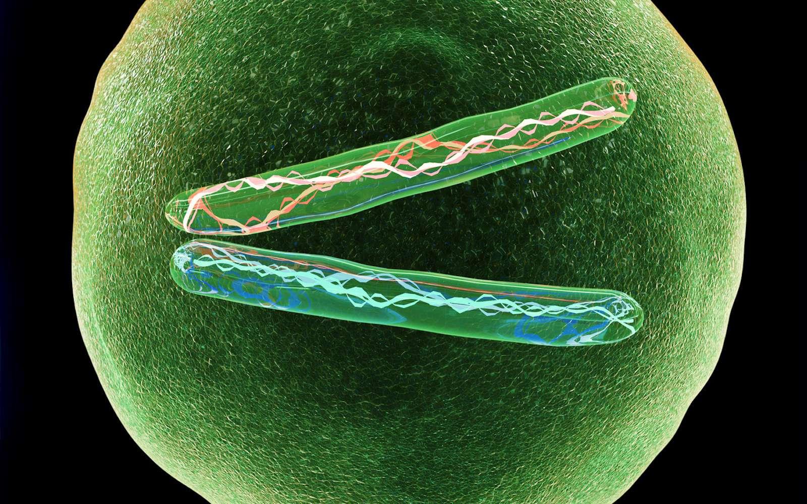 Une cellule haploïde possède un seul exemplaire de chaque chromosome. © Giovanni Cancemi, Fotolia