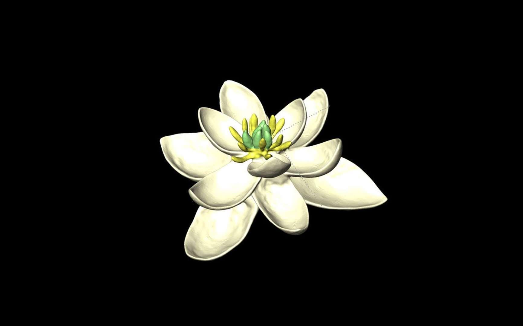 L'ancêtre de toutes les fleurs était hermaphrodite. Ici, modèle de la fleur ancestrale. © H. Sauquet, J. Schönenberger, CNRS