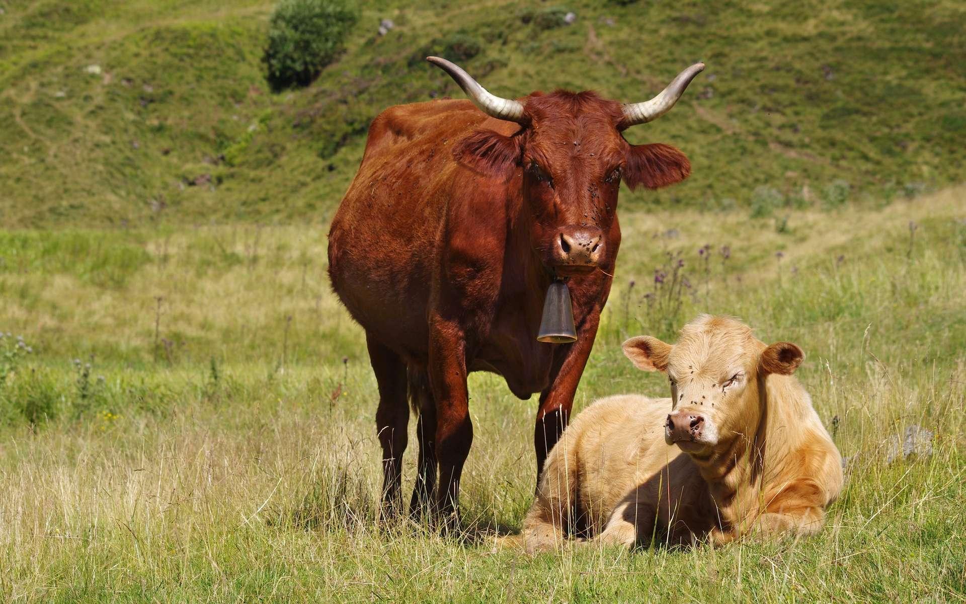 Le cas de vache folle dans les Ardennes est confirmé par le ministère de l'Agriculture. La vache décédée était une Salers, une vache auvergnate au poil acajou. © Fabien Monteil, Shutterstock
