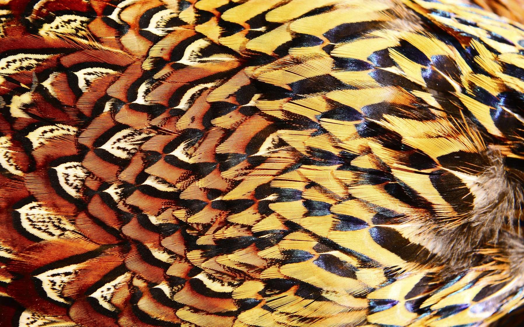 Les plumes de poulet pourraient être utilisées pour fabriquer un plastique écologique ! © hanmaomin, Fotolia