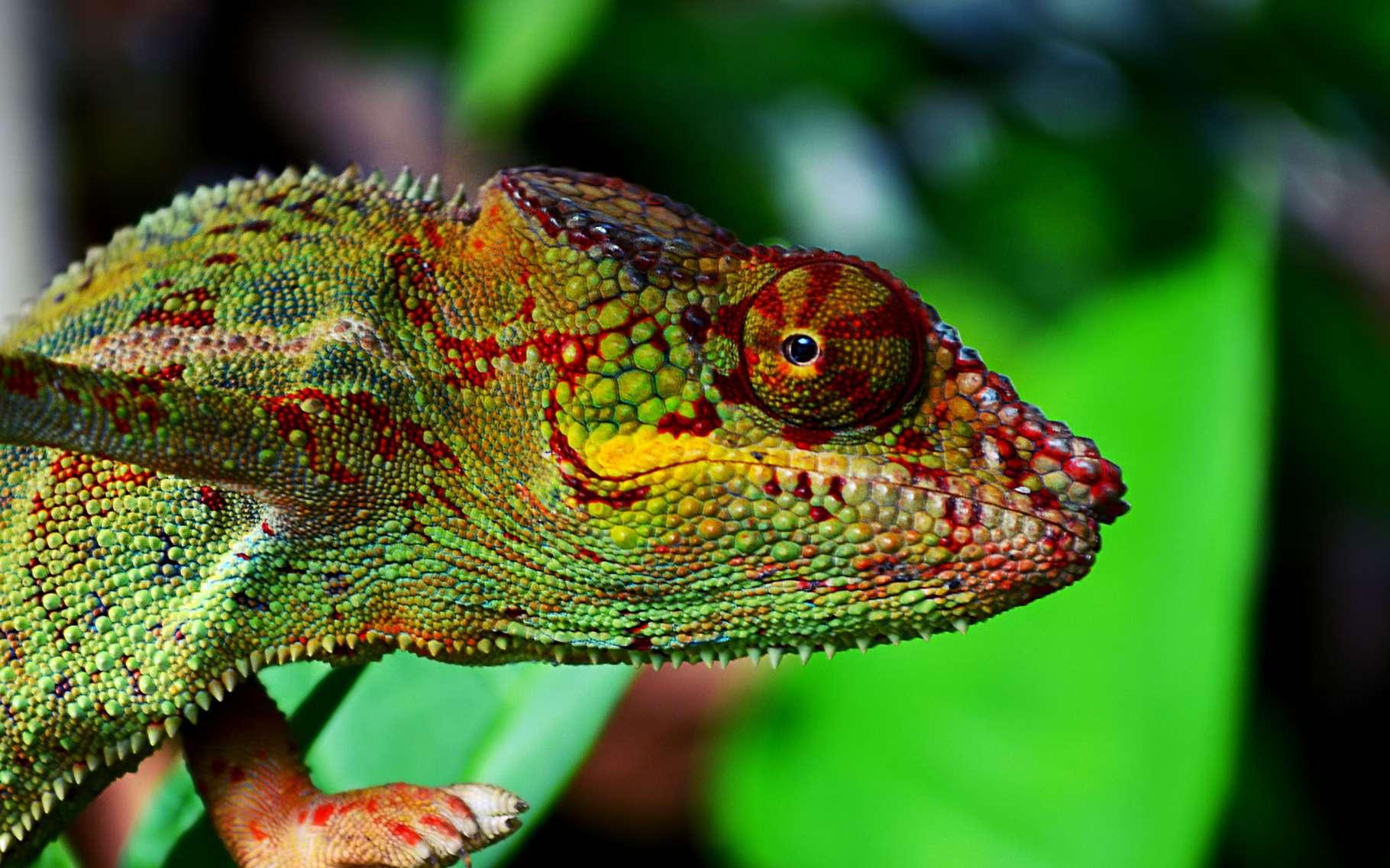 Connu sous le nom d'Endormi à la Réunion, le caméléon-panthère est une espèce que l'on retrouve dans de nombreux espaces naturels protégés par l'Unesco.© JahneH, CC by-sa 4.0
