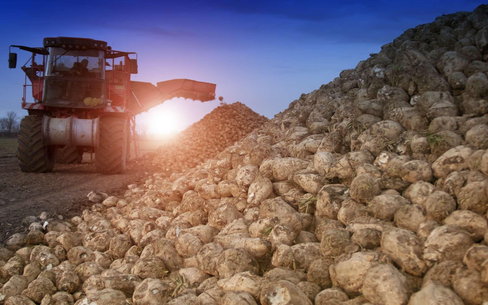 Le ministre de l'Agriculture a annoncé une dérogation pour l'usage de néonicotinoïdes en enrobage de semences, spécifiquement pour la filière betterave sucrière. © Perytskyy, Adobe Stock