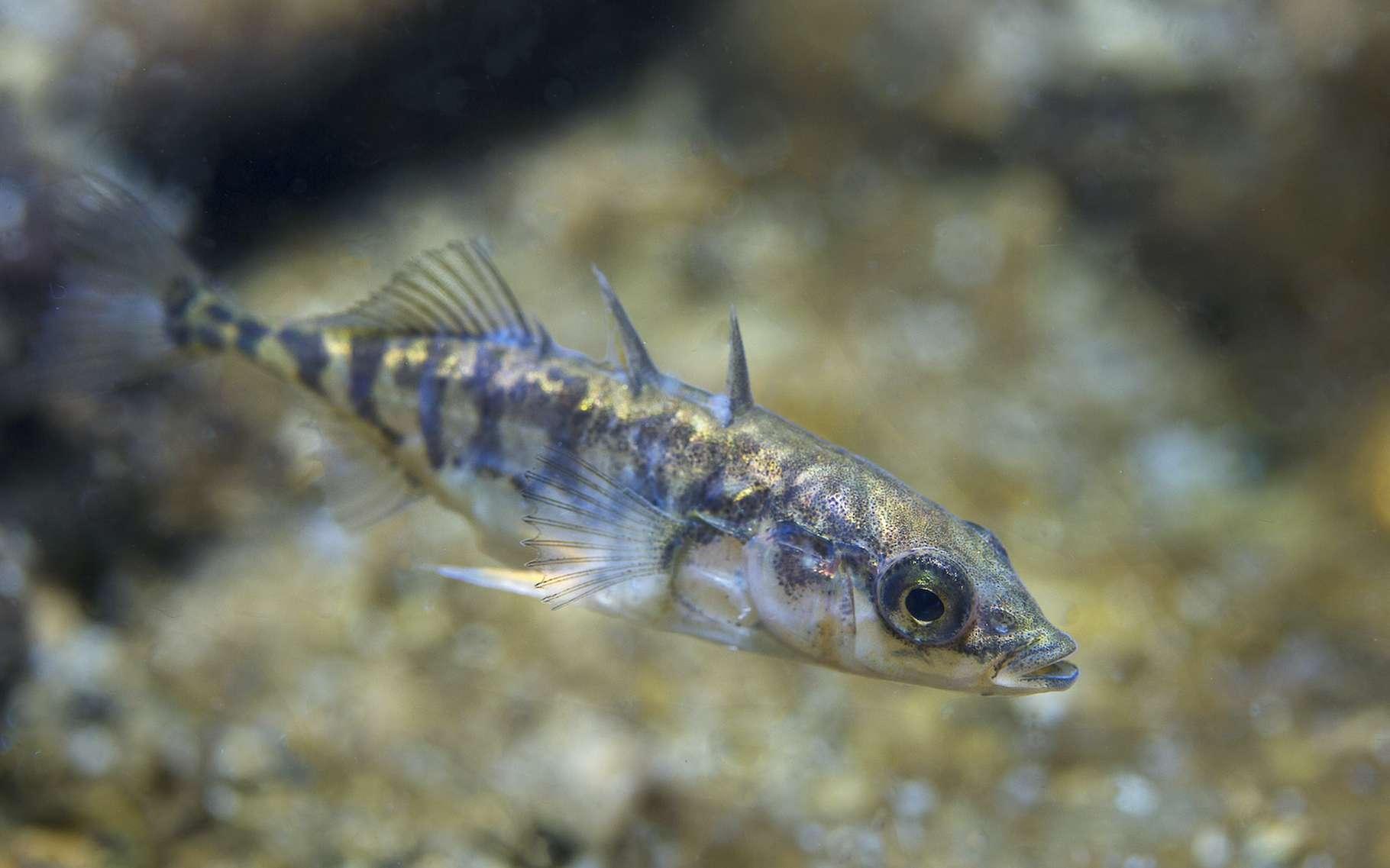 Ce petit poisson plutôt commun qu'est l'épinoche laisse paraître quelques traits de personnalité dans la manière dont il se déplace. Pas si bête, l'épinoche… © Rostislav, Adobe Stock