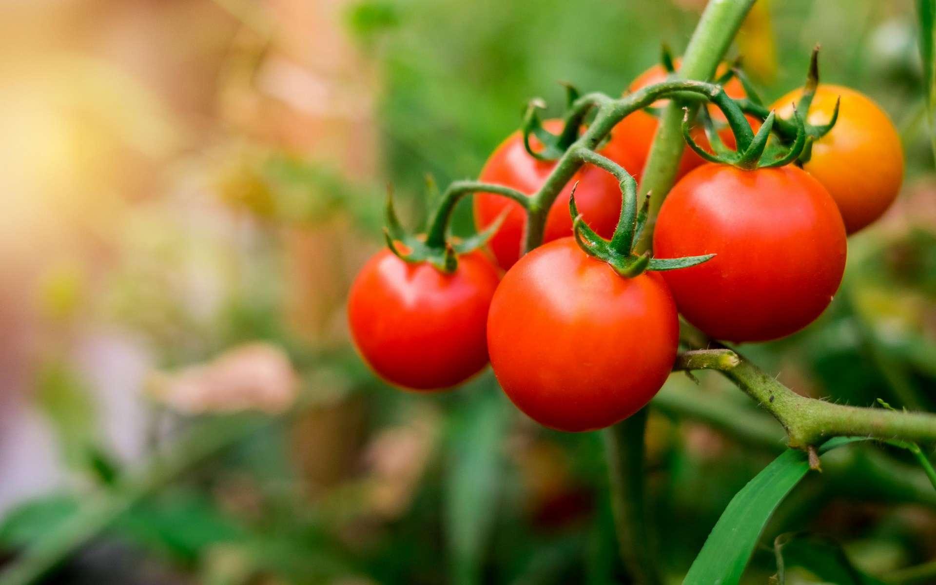 Chez la tomate, il semble que la réponse hormonale à une attaque de ravageurs soit incompatible avec la réponse à une trop forte chaleur. © Ton, Adobe Stock