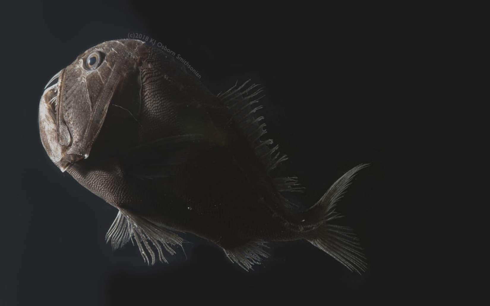 Dans les abysses, certains poissons ont une peau si noire qu'elle leur permet d'être invisible dans les eaux. © Karen Osborn, Smithsonian