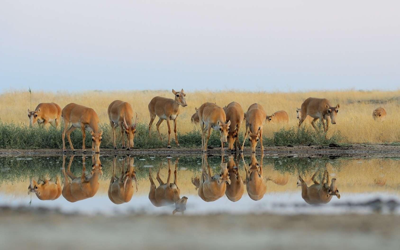 En 2015, 200.000 antilopes sont mortes au Kazakhstan. L'énigme est enfin résolue. © Victor Tyakht, Fotolia