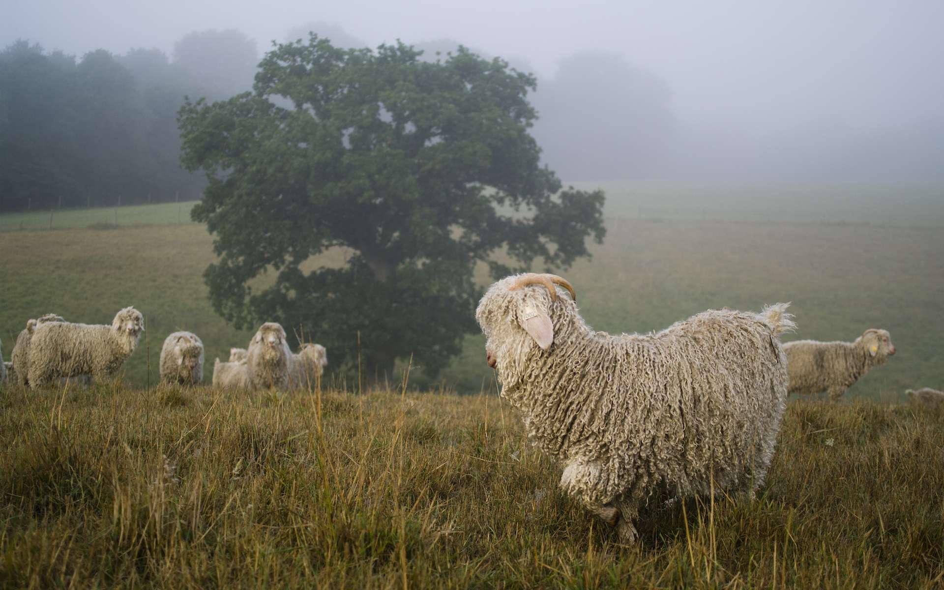 Les chèvres angora produisent la laine mohair. © Mohair du Pays de Corlay