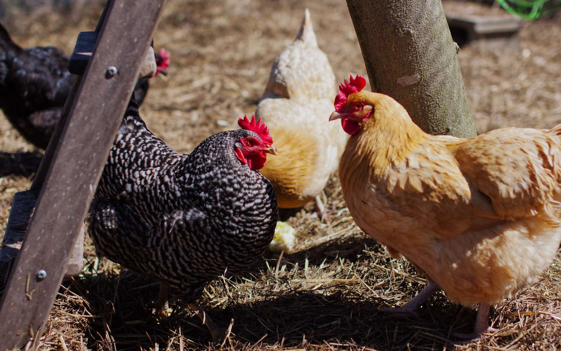 Nourriture, poulailler, races, longévité… Conseils pour bien élever ses poules. © pepperberryfarm, Flickr