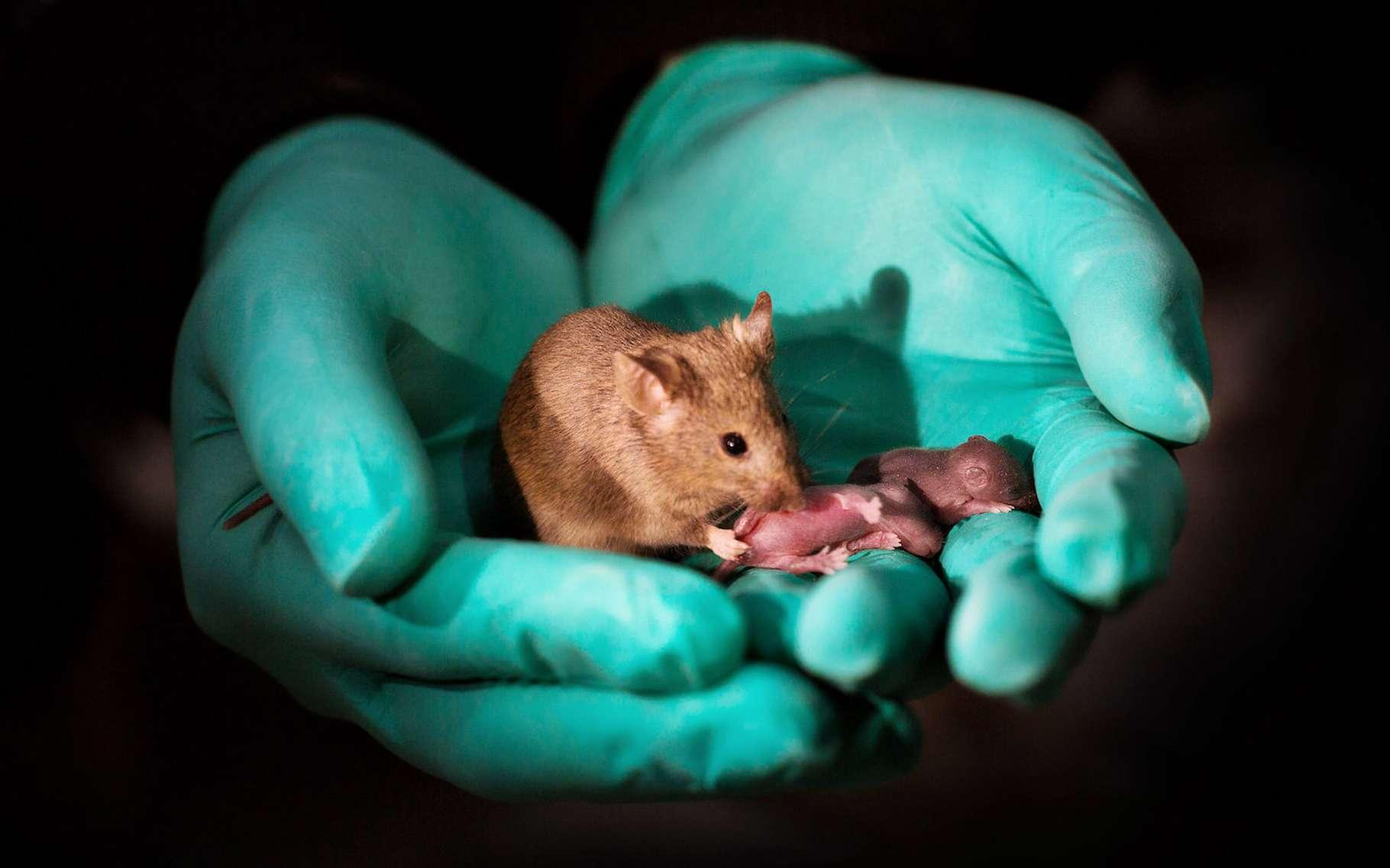 Des chercheurs chinois ont produit des souris à partir de deux mères. Des souris qui ont vécu toute une vie et qui ont même, comme celle que l'on voit ici, été capables de donner naissance à une nouvelle génération de souris. © Leyun Wang, l'Académie des sciences chinoise