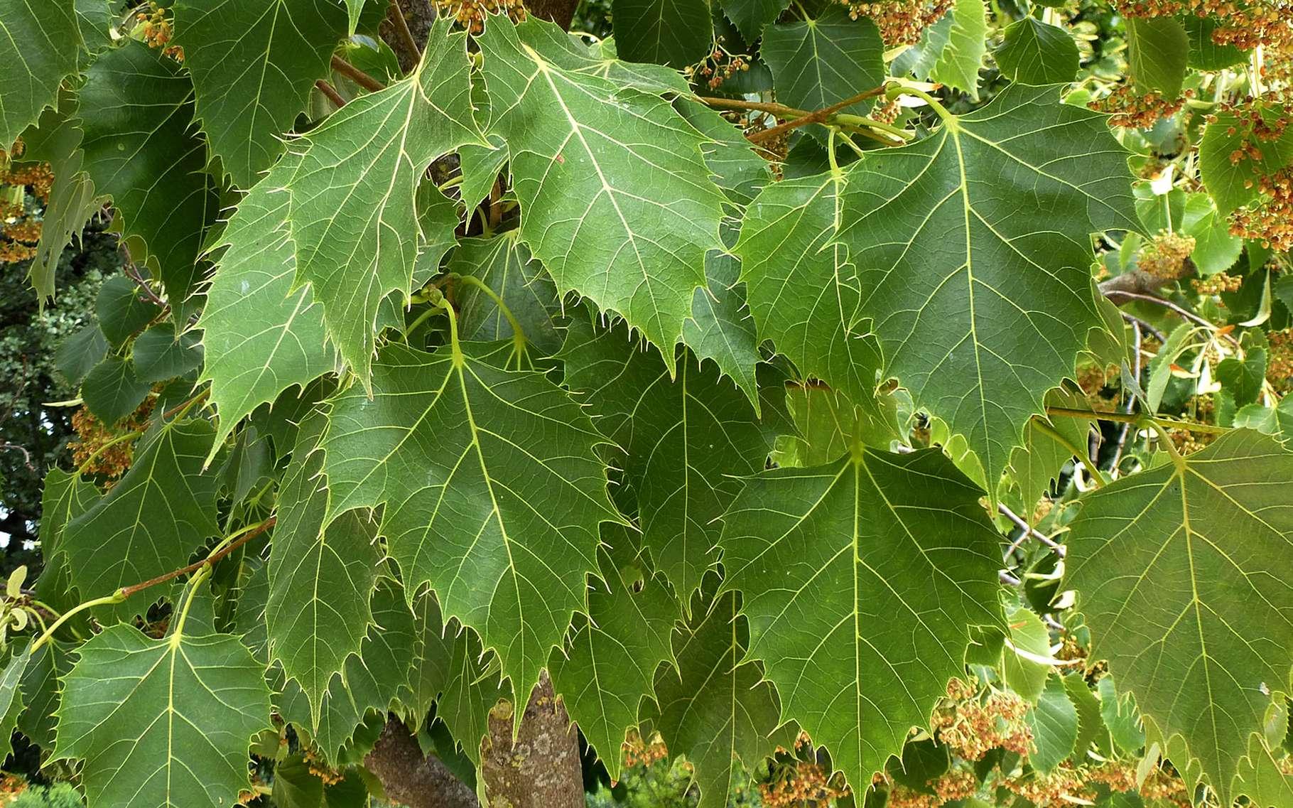 Le tilleul de Henry est un arbre d'ornement de la famille des tiliacées. © DP