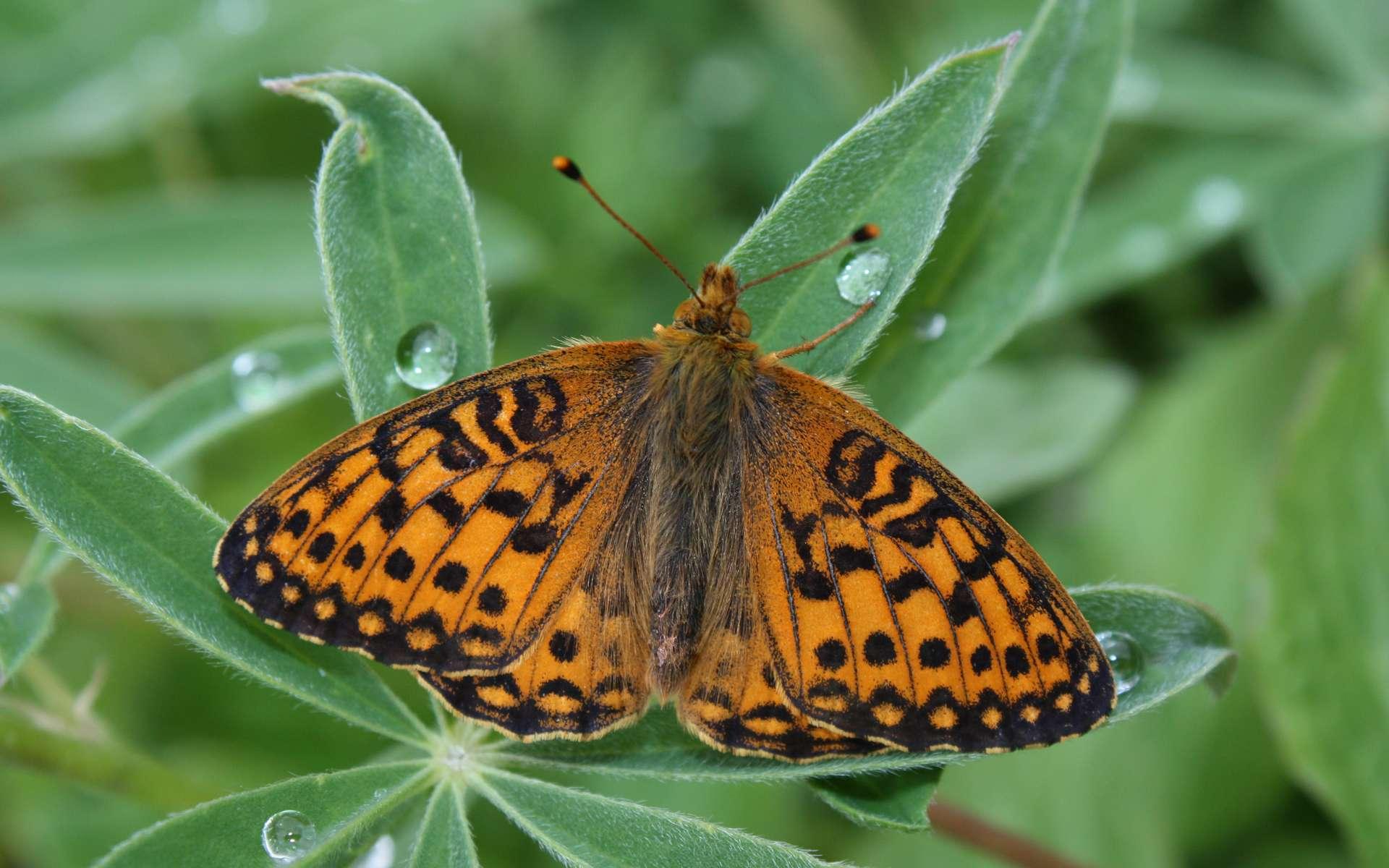 Le papillon arctique Boloria chariclea est l'une des deux espèces étudiées dont la taille réduit à cause du réchauffement climatique. © Walter Siegmund, Wikimedia Commons, CC by-sa 3.0