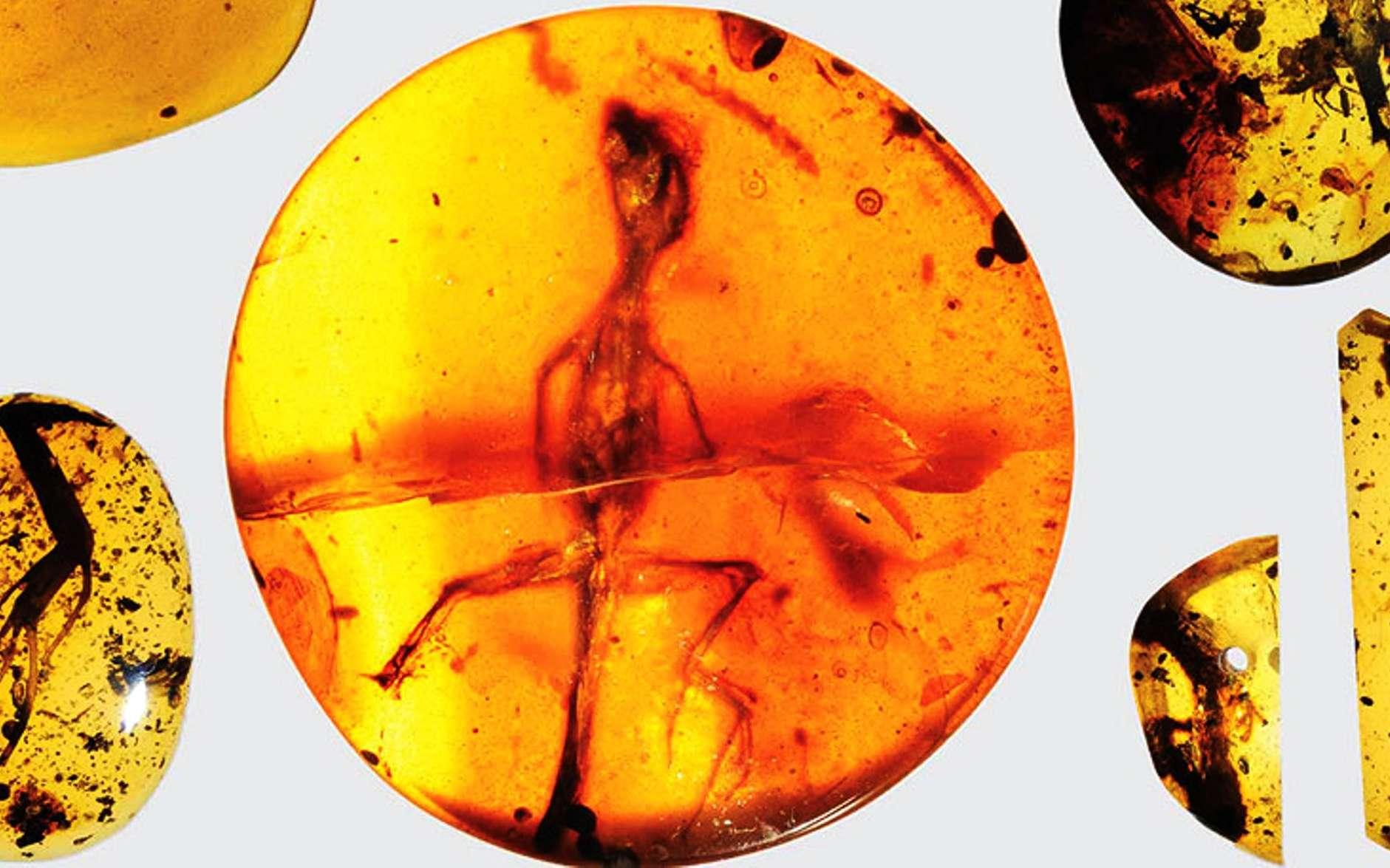 De l'ambre fossile retrouvé en Birmanie il y a des décennies contenait un véritable trésor paléontologique, des restes fossilisés en excellent état de plusieurs petits lézards vieux de presque 100 millions d'années. © Kristen Grace, Florida Museum of Natural History