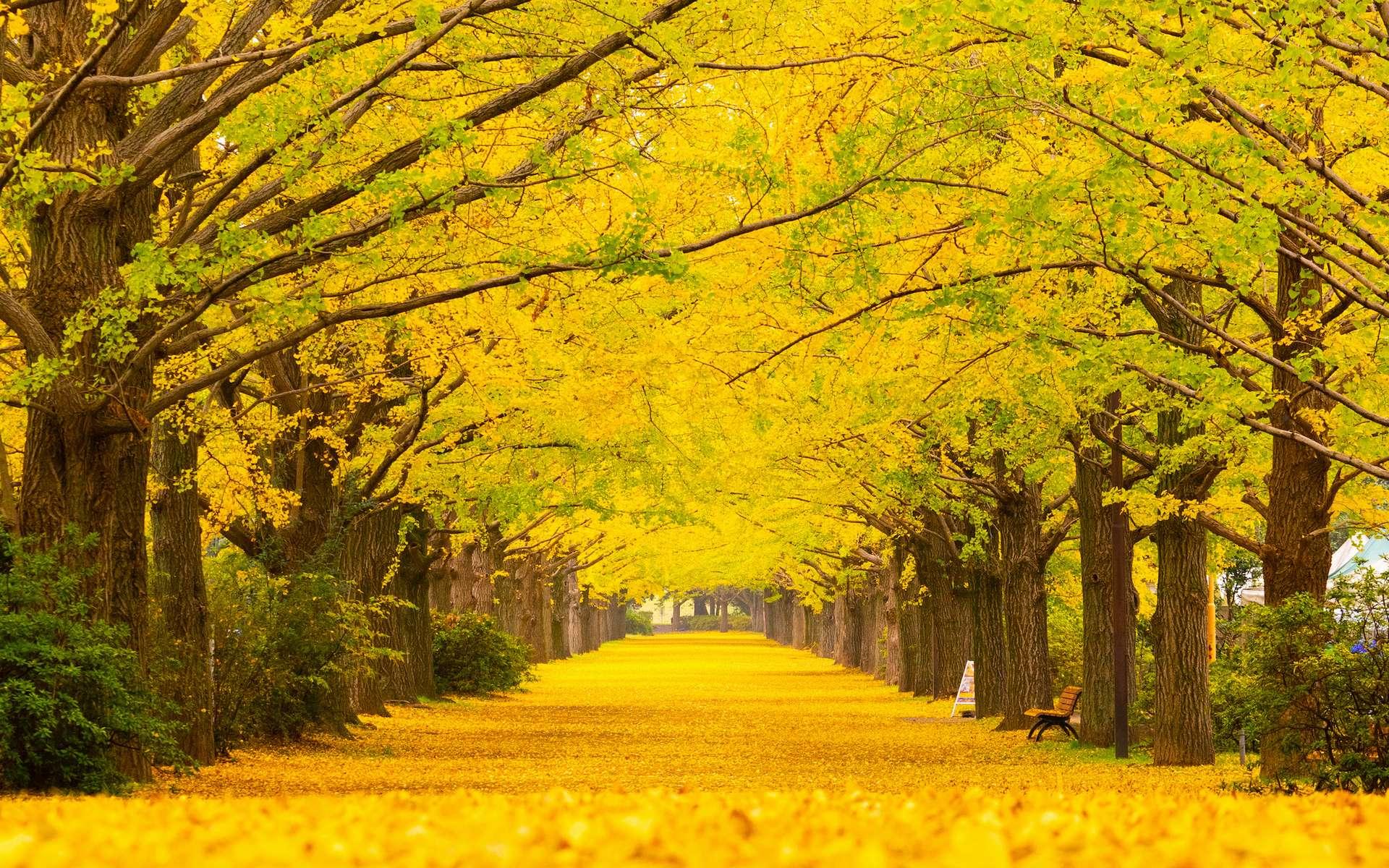 Le Ginkgo biloba arbore un magnifique feuillage jaune à l'automne. © namezon, Adobe Stock