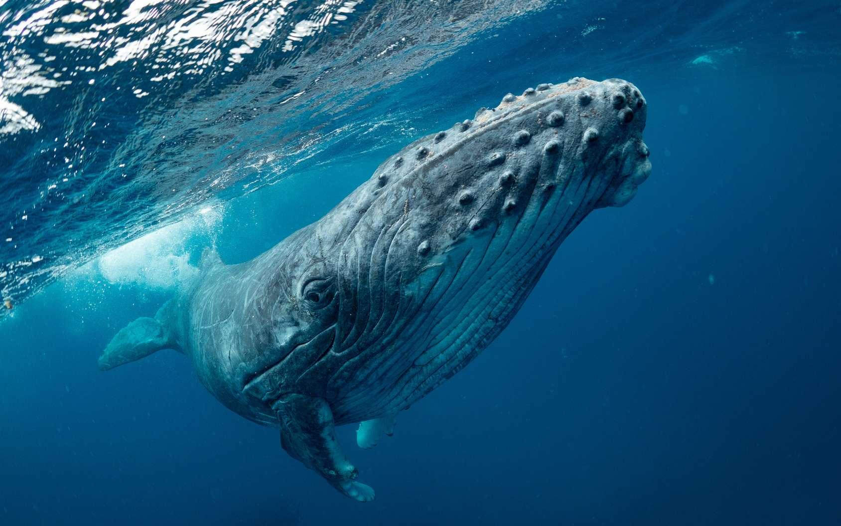 Le baleine bleue est le plus gros animal vivant sur la planète. © Earth theater, Fotolia