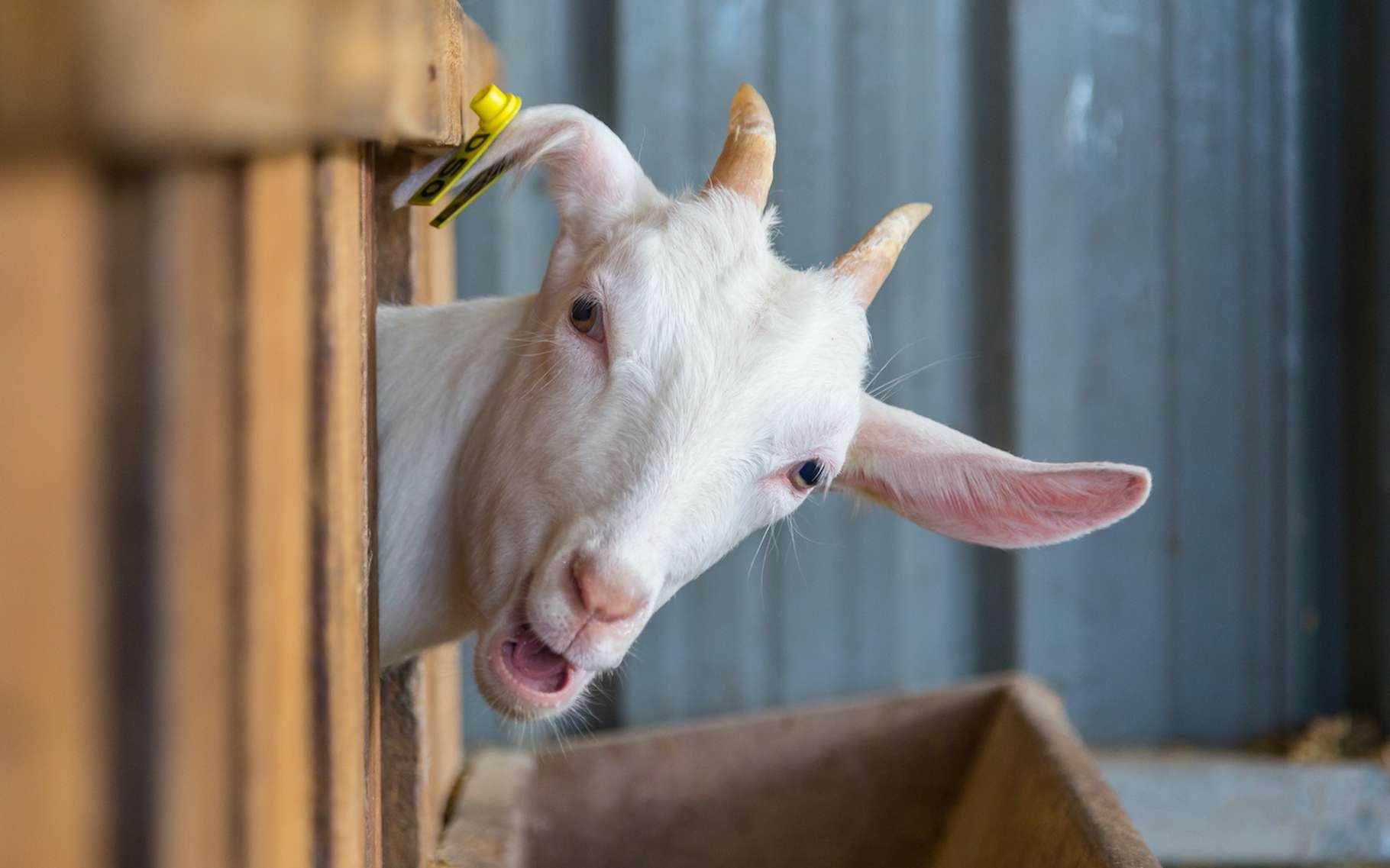 Finesse, perspicacité, ingéniosité. Ce ne sont pas les premiers mots qui nous viennent généralement à l'esprit lorsque nous pensons à une chèvre. Pourtant, les chercheurs l'ont déjà montré dans diverses situations, les chèvres ne sont pas si bêtes. © alenthien, Adobe Stock
