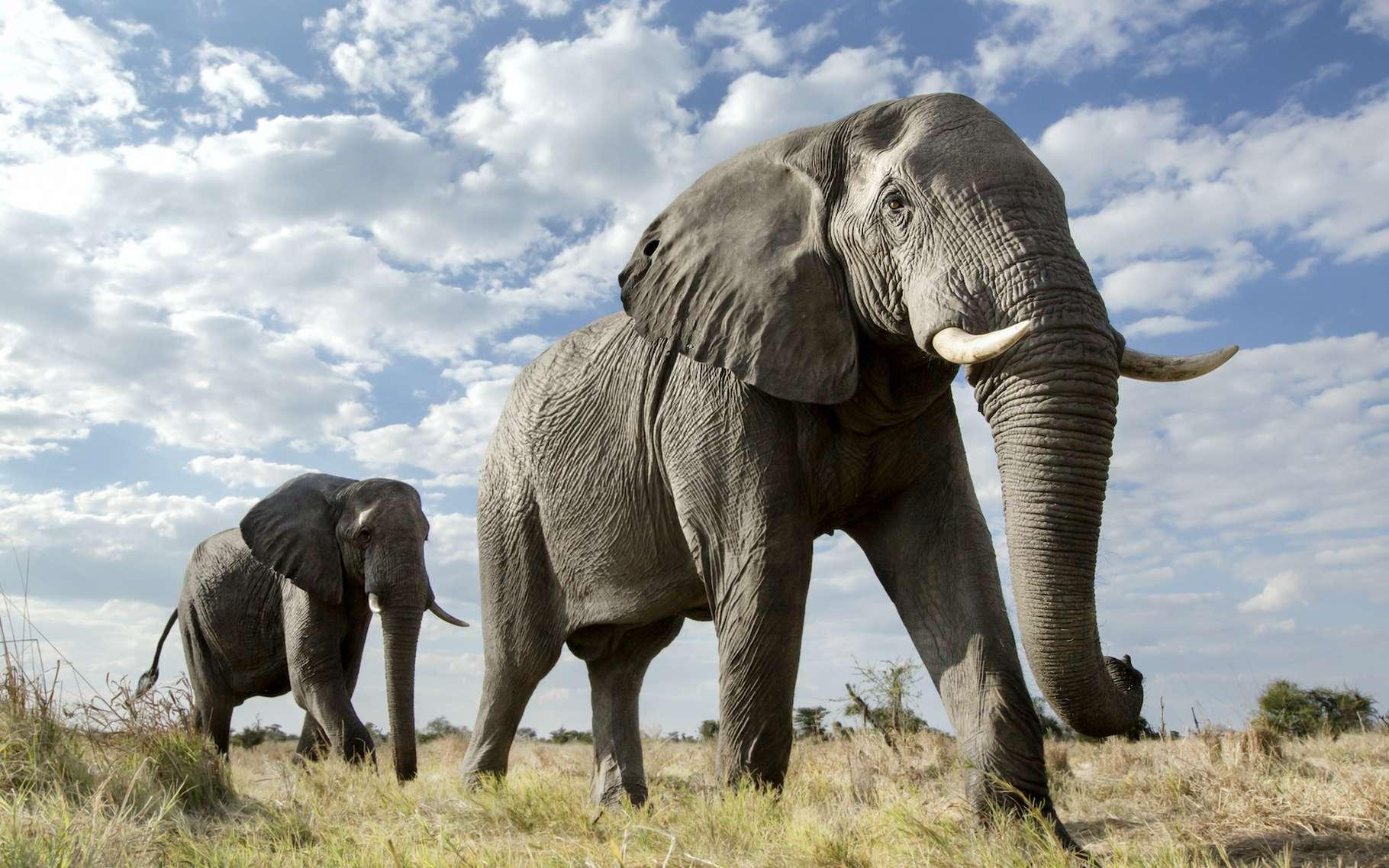 Des centaines d'éléphants morts dans des circonstances mystérieuses