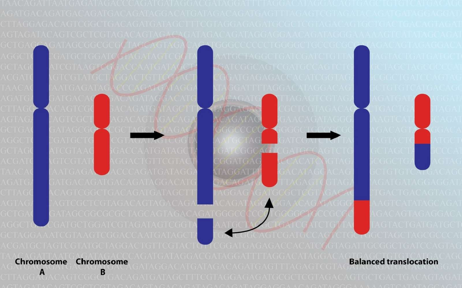Une translocation réciproque entre chromosomes non homologues conduit à un échange de matériel génétique. © meletver, Fotolia