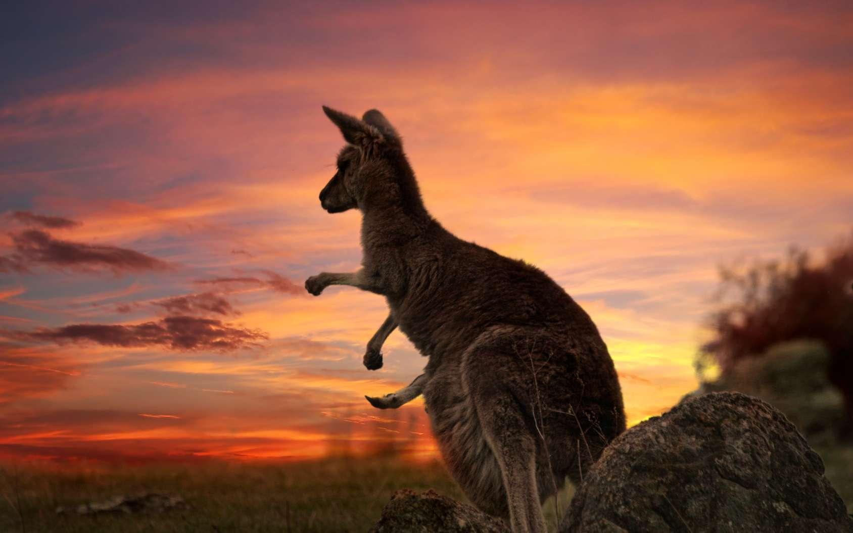La population de kangourous géants compte plusieurs millions d'individus. © Leah-Anne Thompson, fotolia